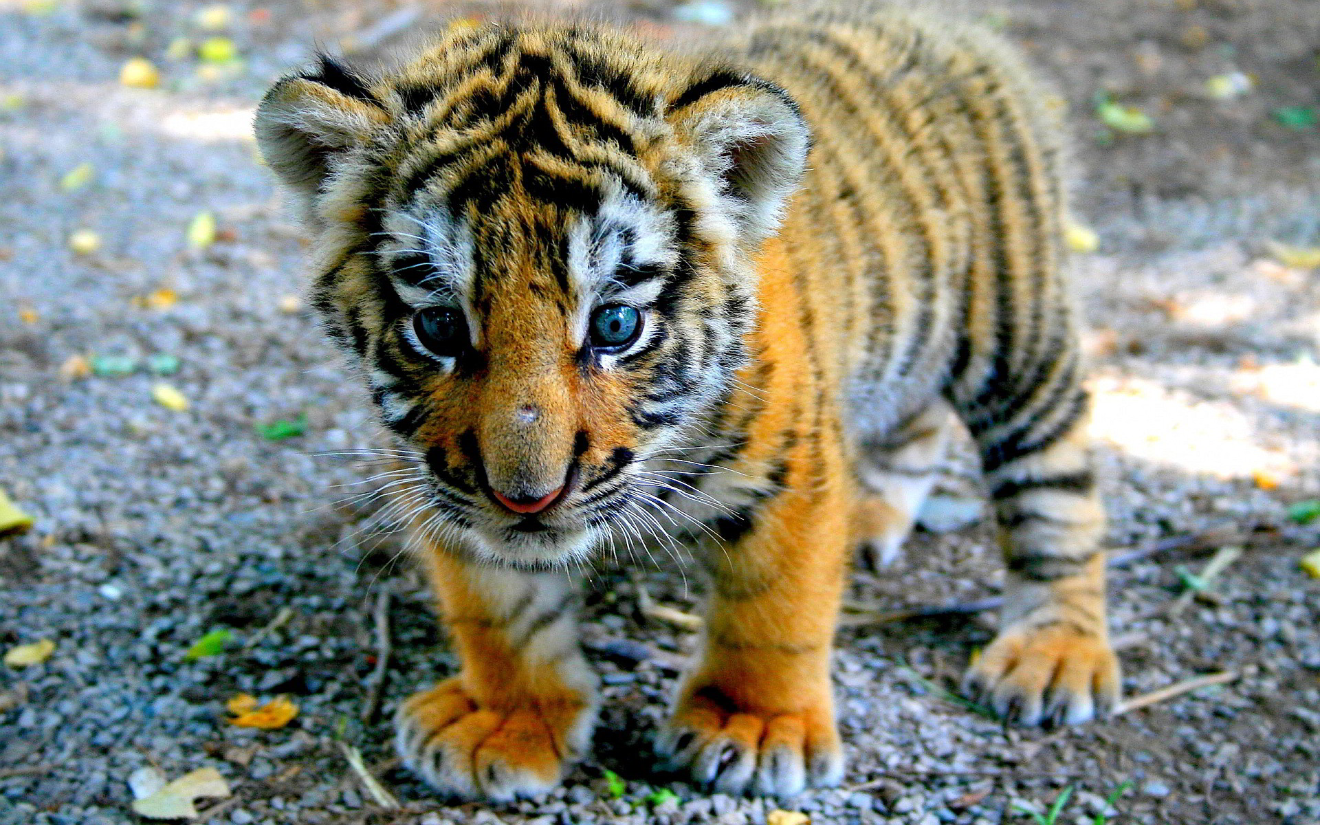 Cute Baby Tiger Wallpaper 68 Images