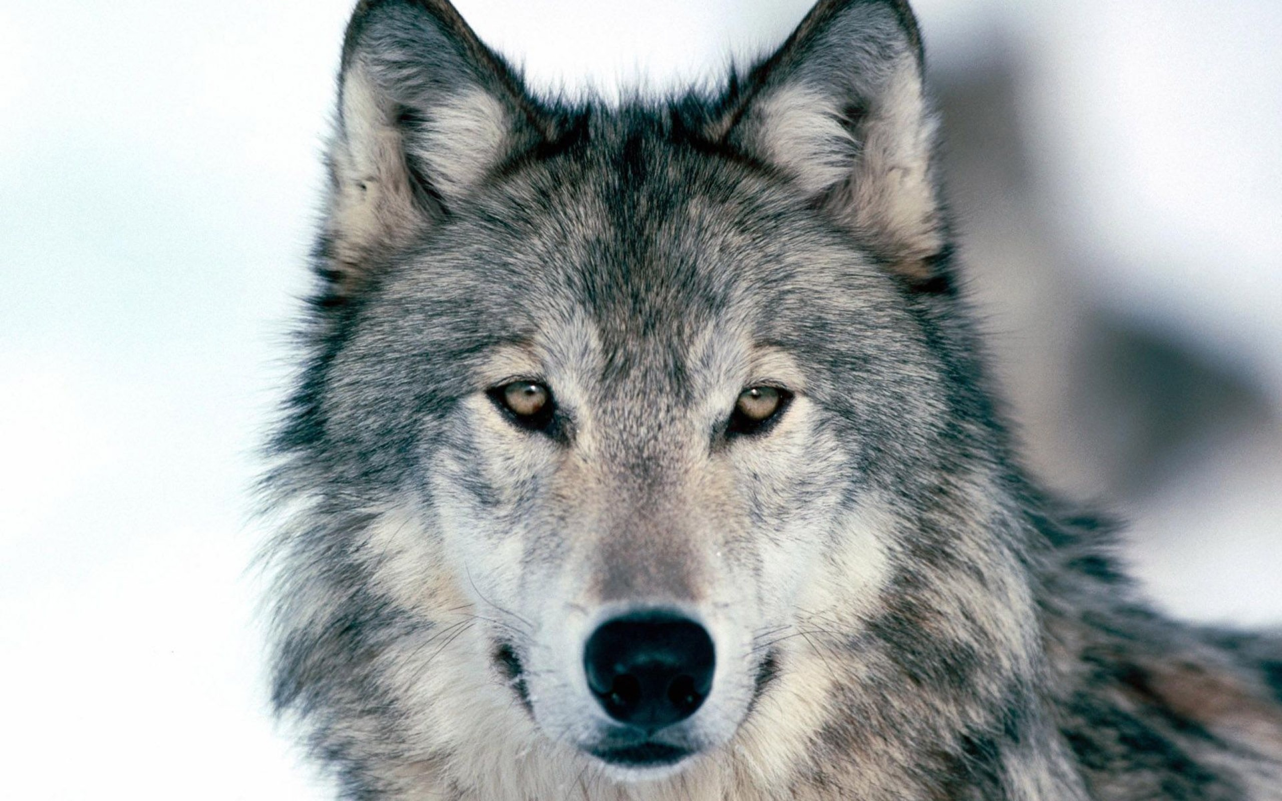 2560x1600 Preview wallpaper wolf, winter, snow, face, eyes, predator