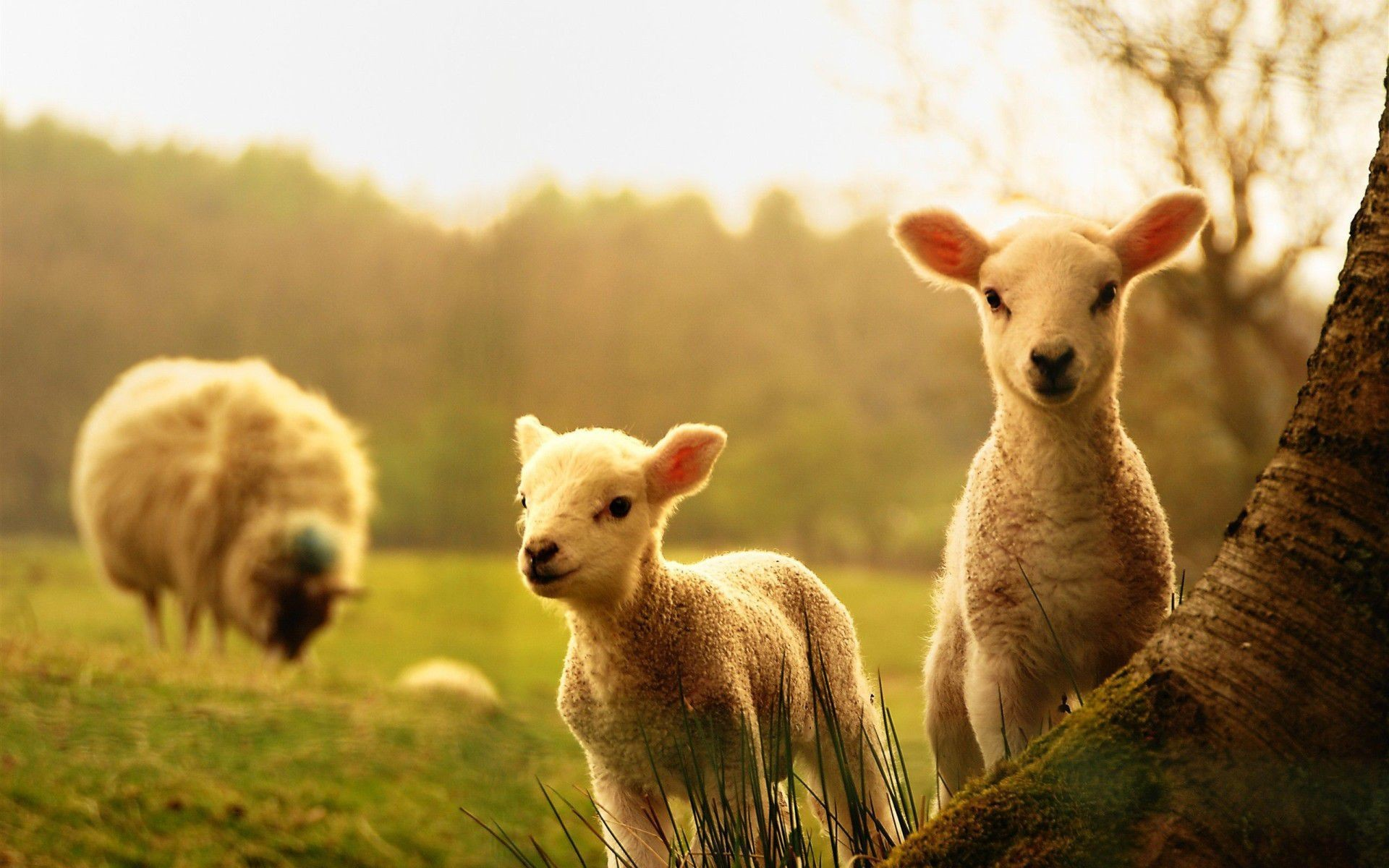farm animals wallpaper (58+ images)