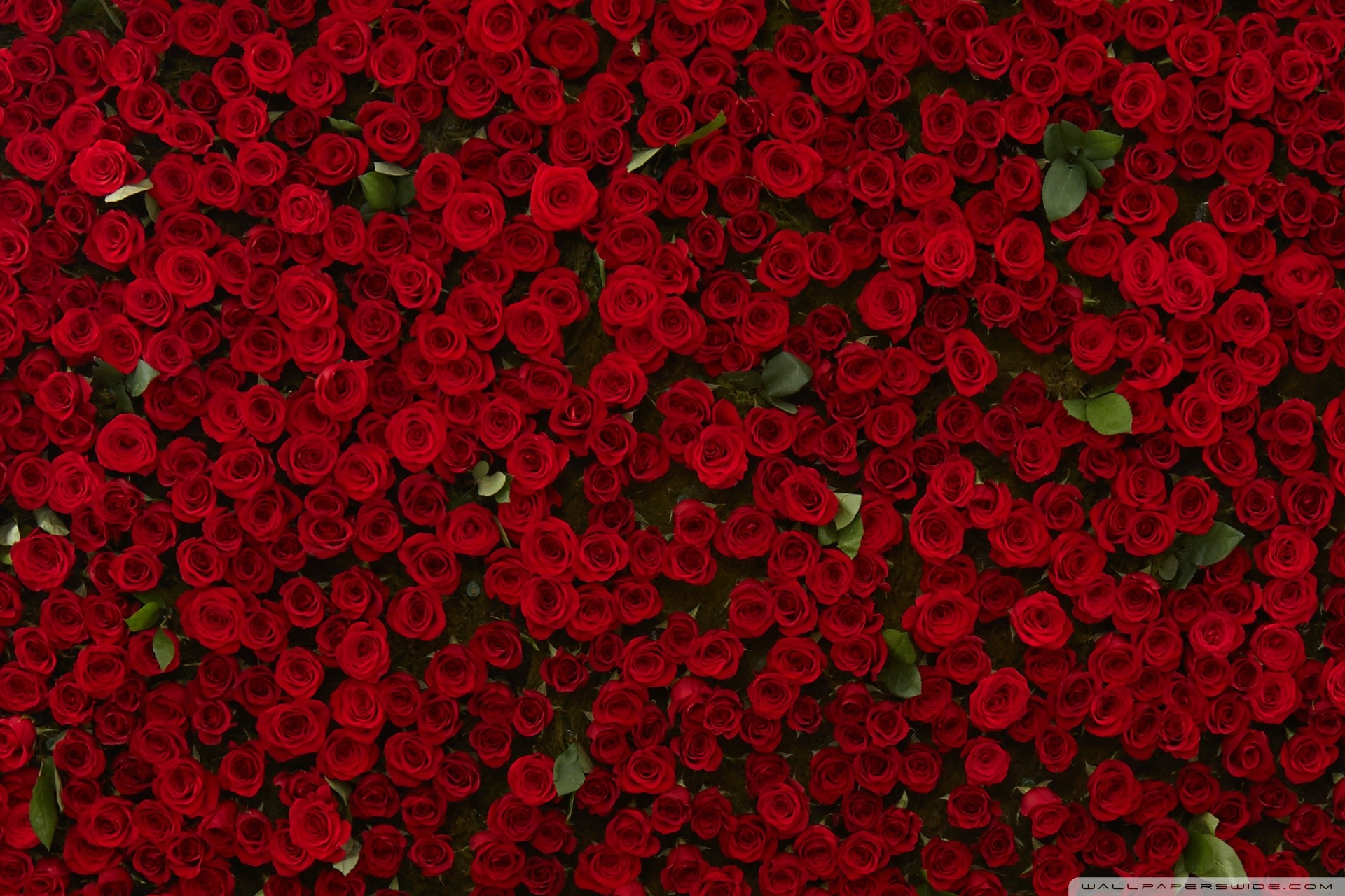 Red Roses Wallpaper 58 Images
