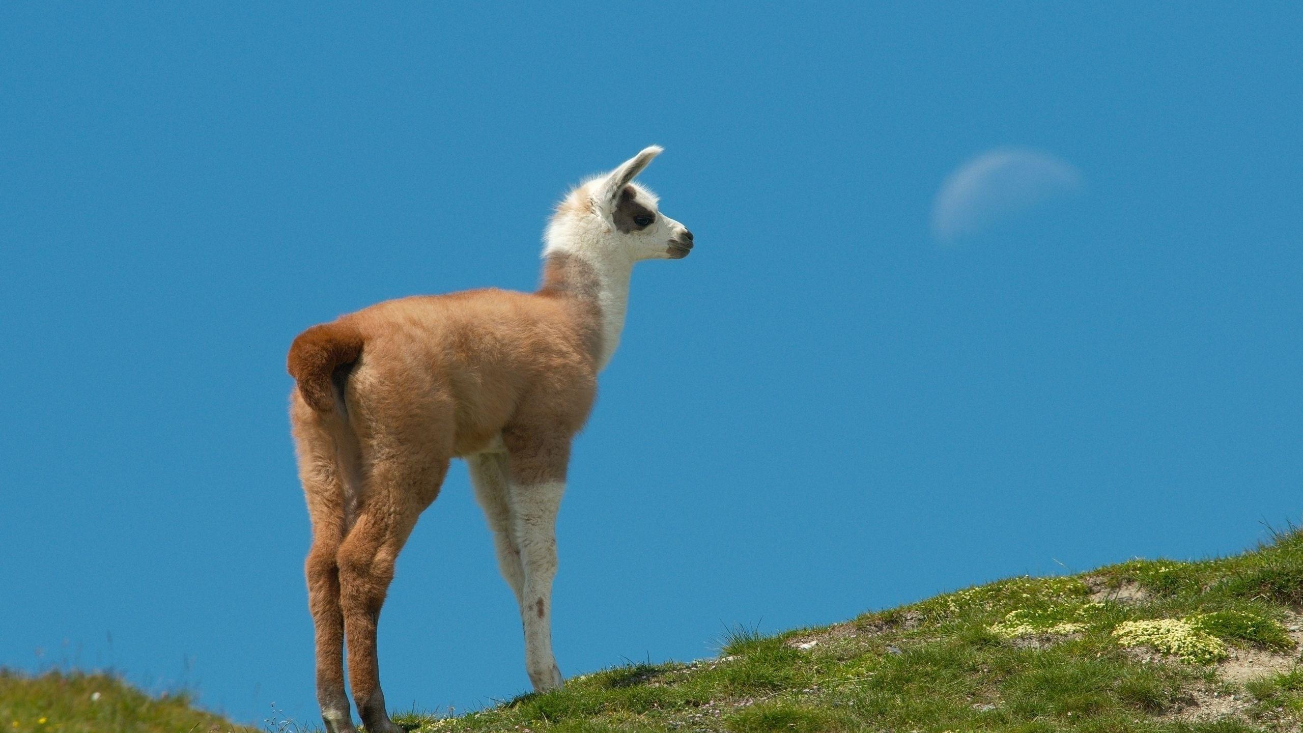2048x1152 Wallpaper Alpaca Muzzle Cute