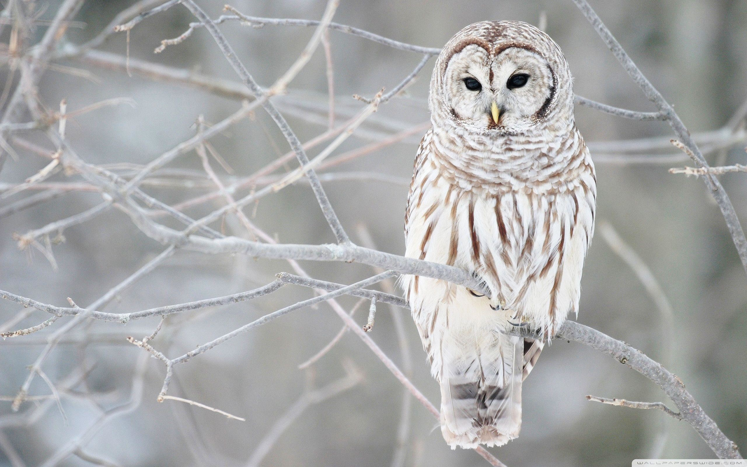 2560x1600 White Owl Hd Wallpaper Â« Animals & Birds Wallpapers Â« Free .