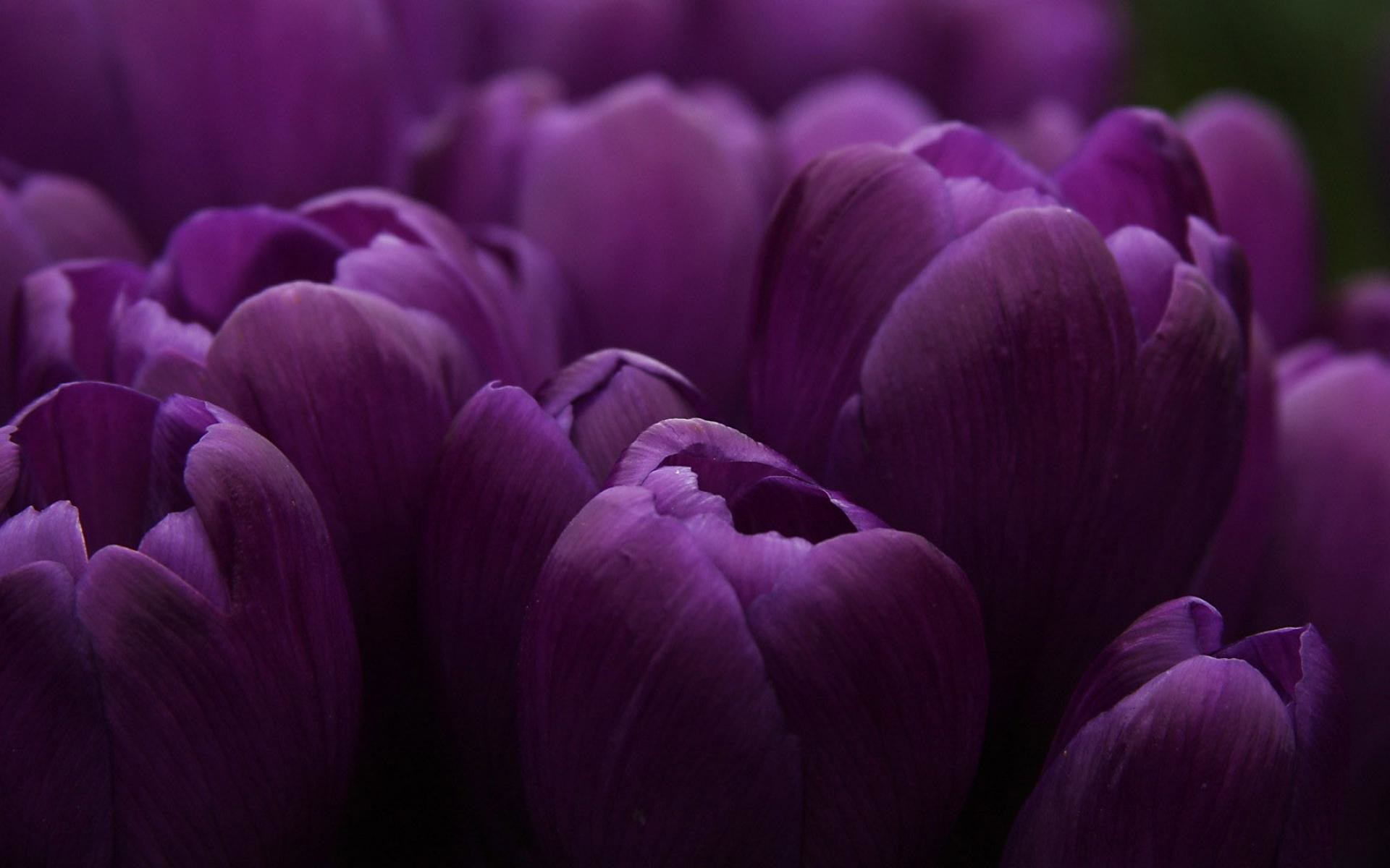 1920x1200 Tulip Purple Wallpaper Widescreen Wallpaper