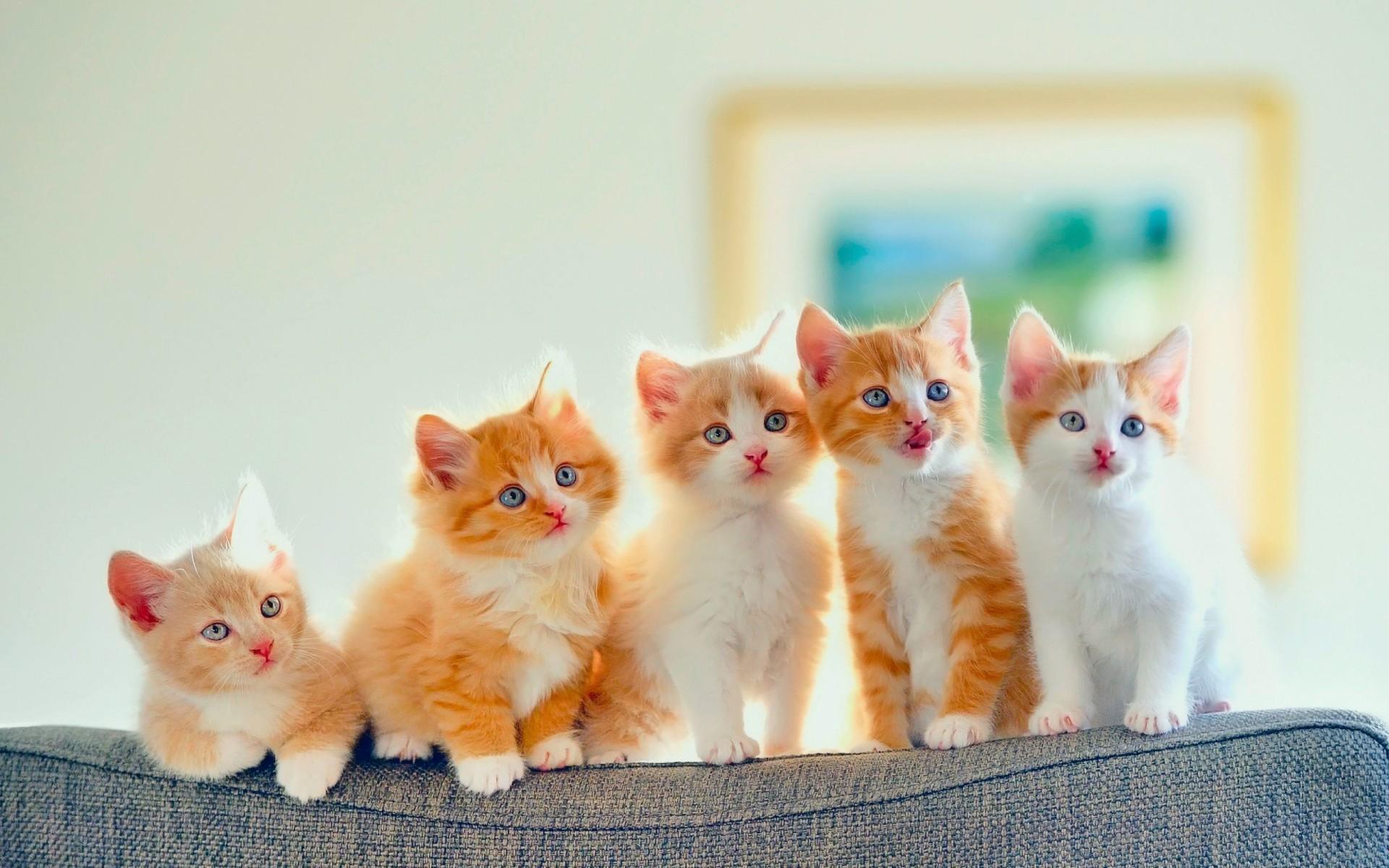 1920x1080 Fluffy Kitten Wallpapers Hd