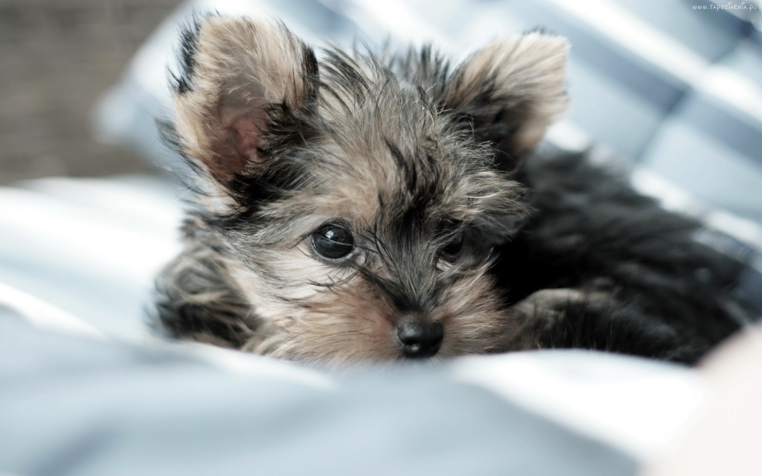 2560x1600 Yorkie Puppies - Wallpaper, High Definition, High Quality, Widescreen