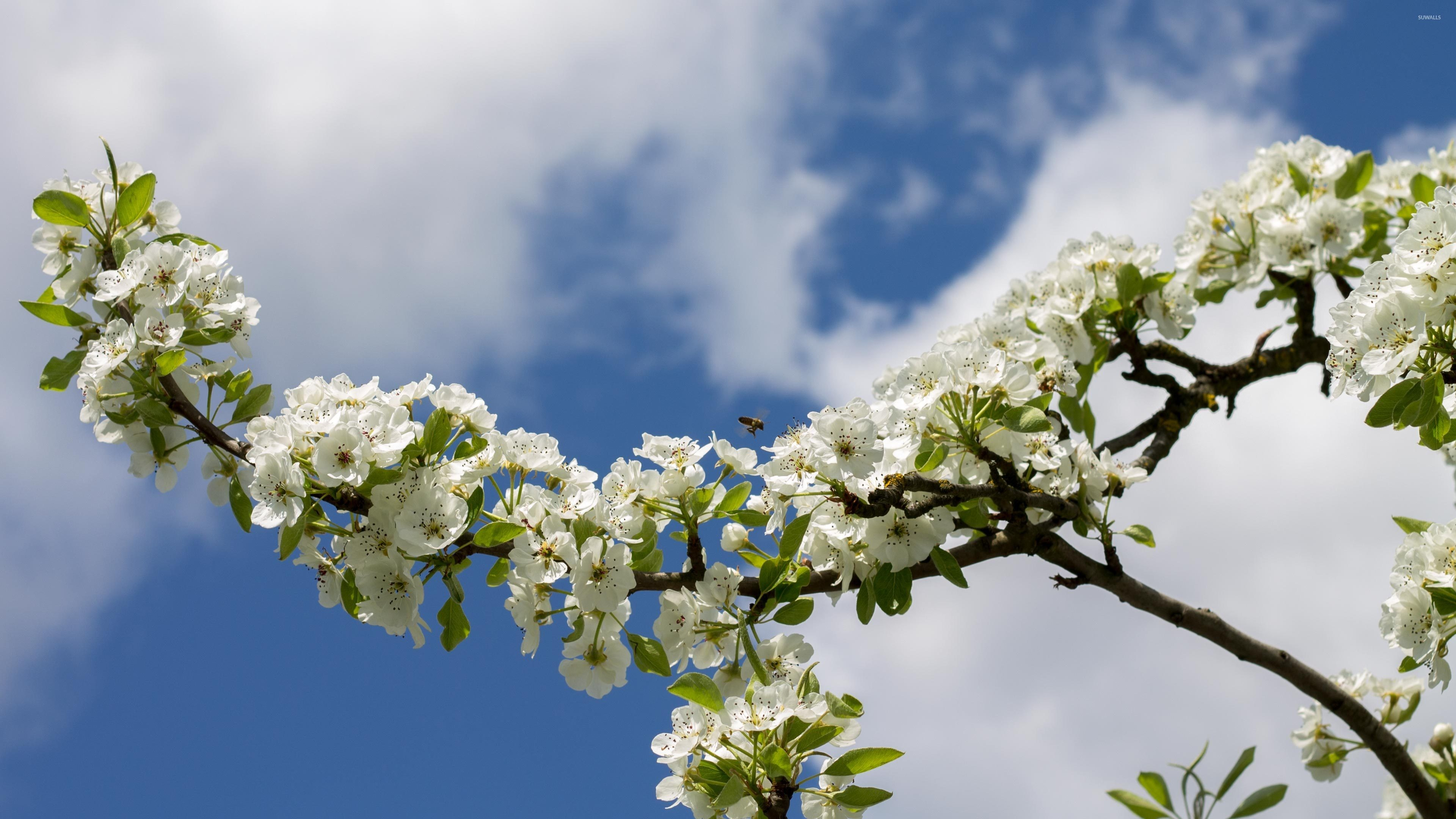 3840x2160 White pear blossoms along the branch wallpaper