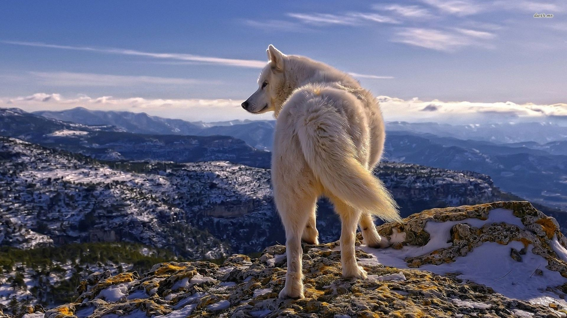 Amazing Wallpaper Mac Wolf - 995171-white-wolf-wallpaper-1920x1080-for-macbook  HD_97759.jpg