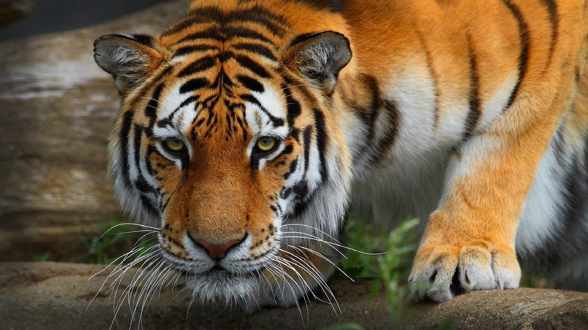 1920x1080 tiger wallpaper full hd (65+ images)