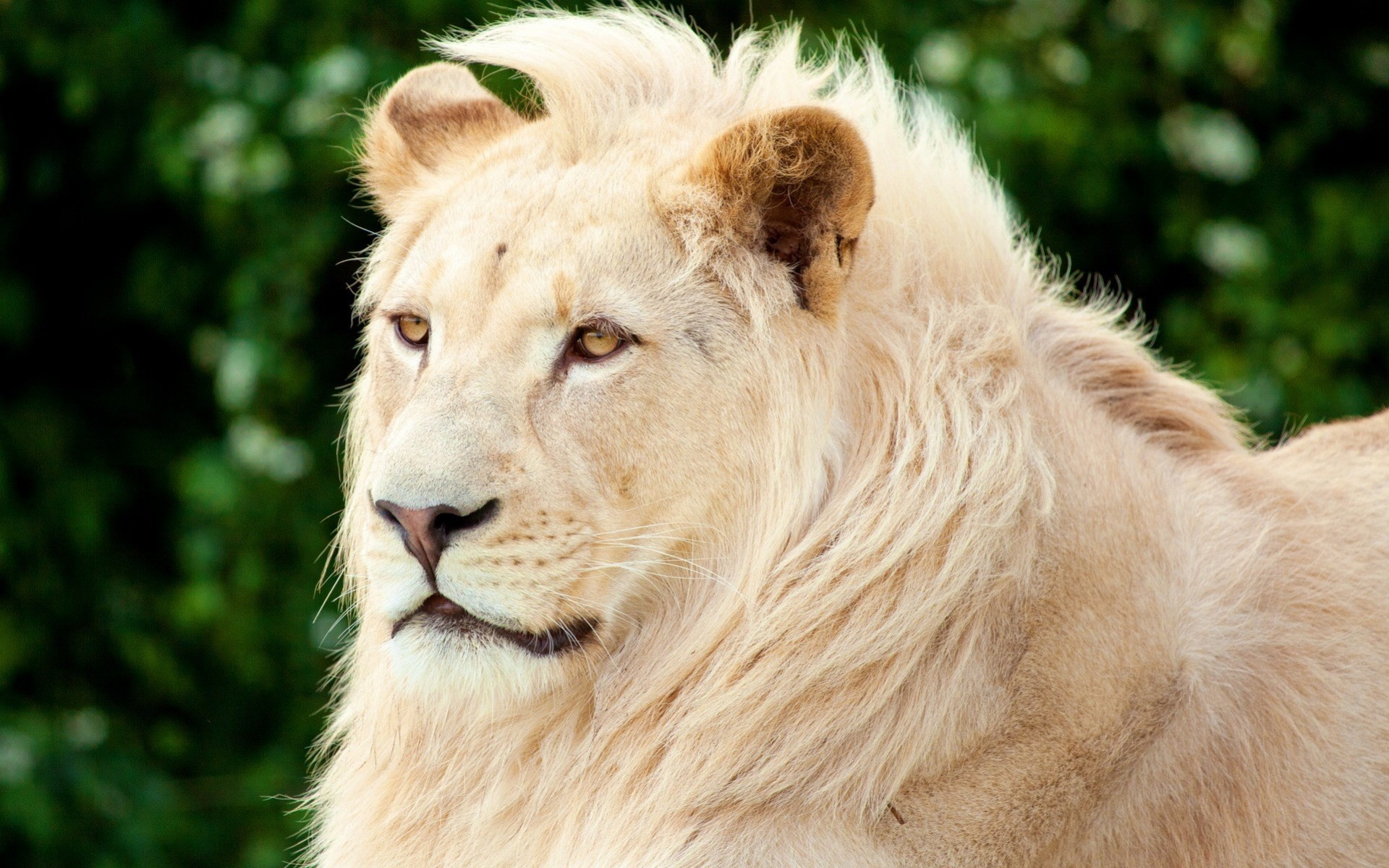Hd white lion
