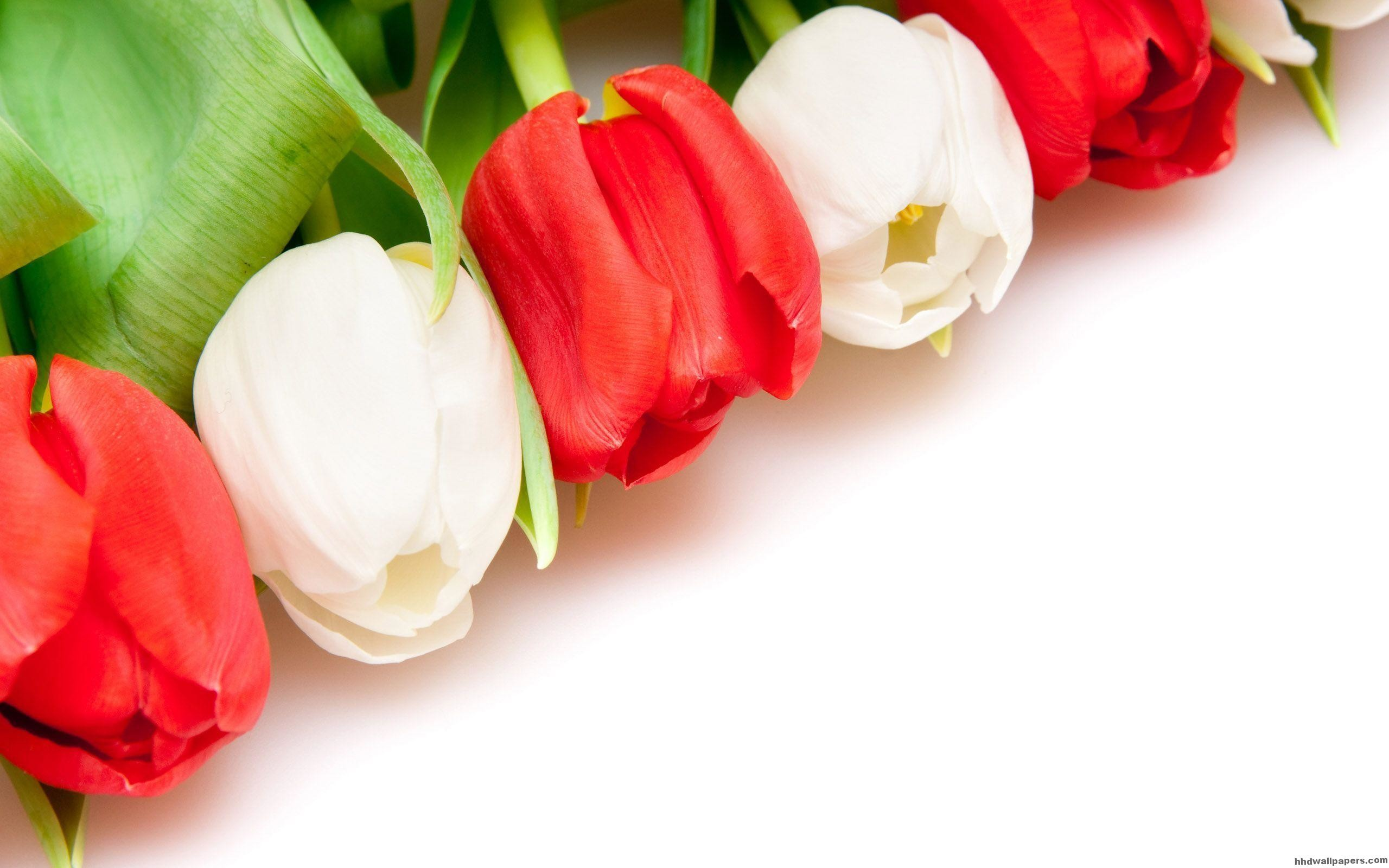 2560x1600 Red And White Tulips Flower Wallpaper