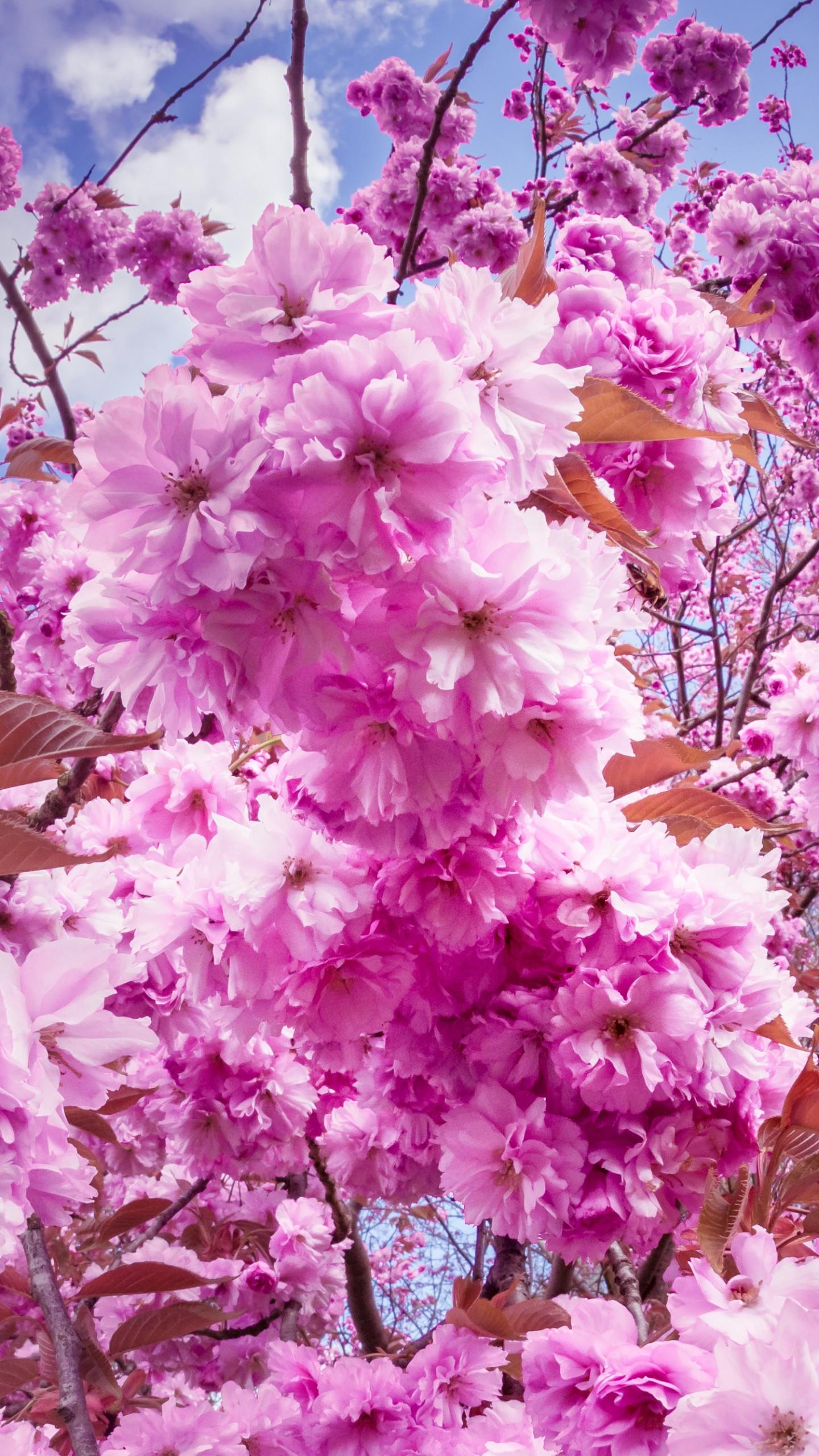 Sakura Wallpapers (66+ images)