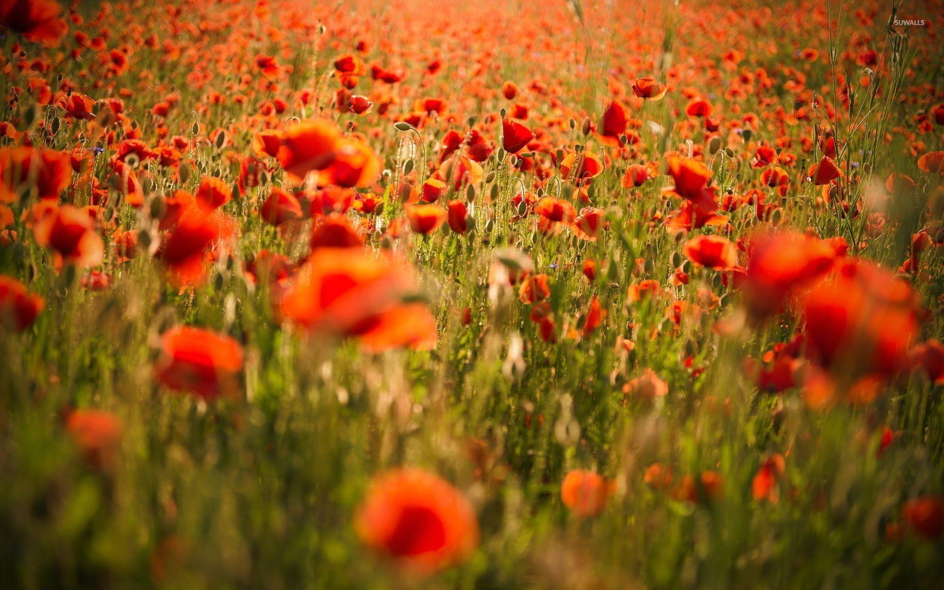 Red Poppy Wallpaper (58+ images)