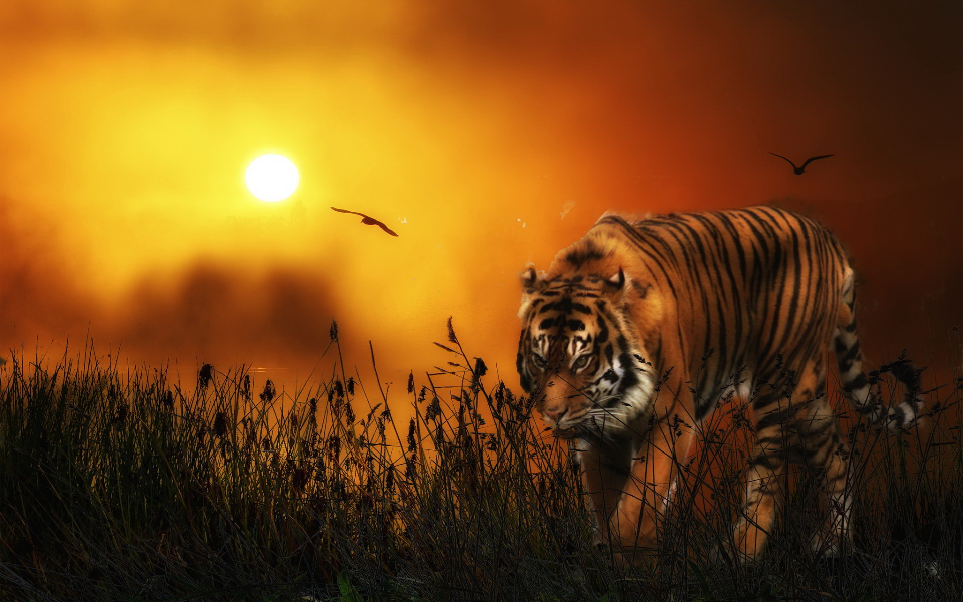 Tiger HD Wallpaper (81+ Images