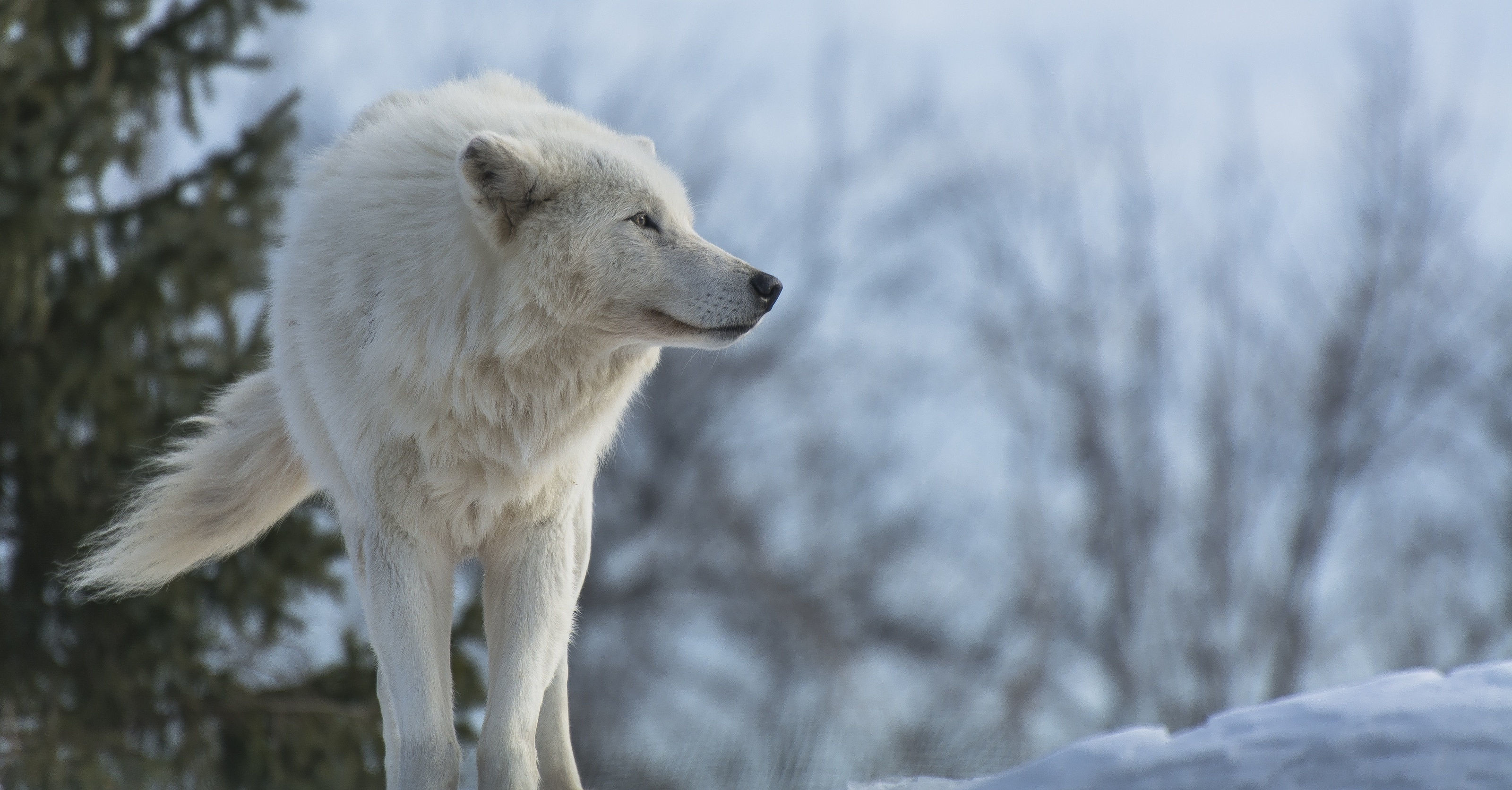 3200x1672 White Wolves HD Wallpaper