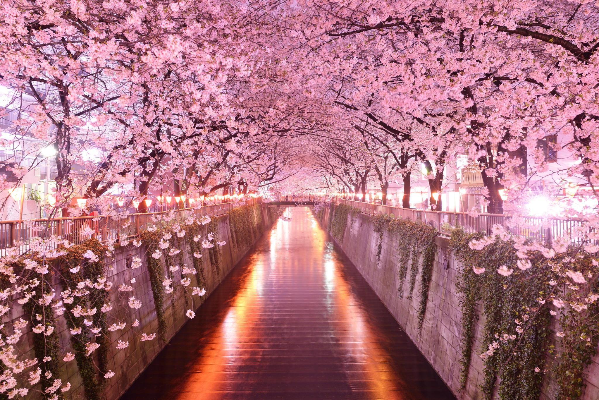 Cherry Blossom Wallpaper For Desktop 75 Images