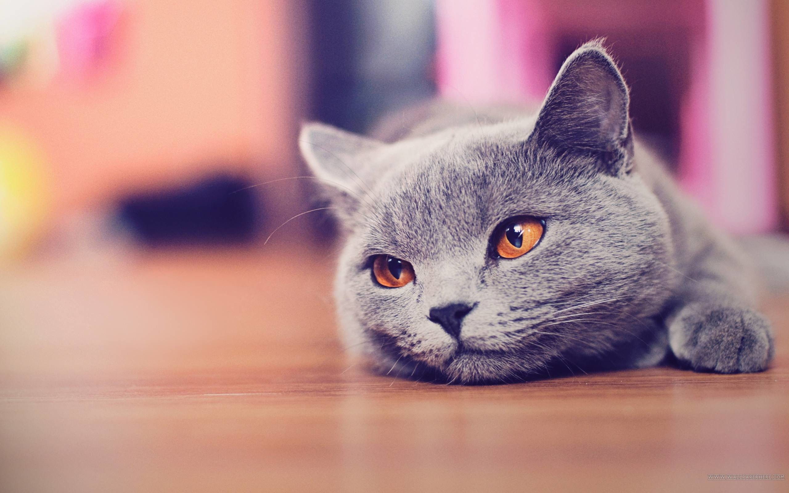 cute cat wallpapers for desktop (66+ images)