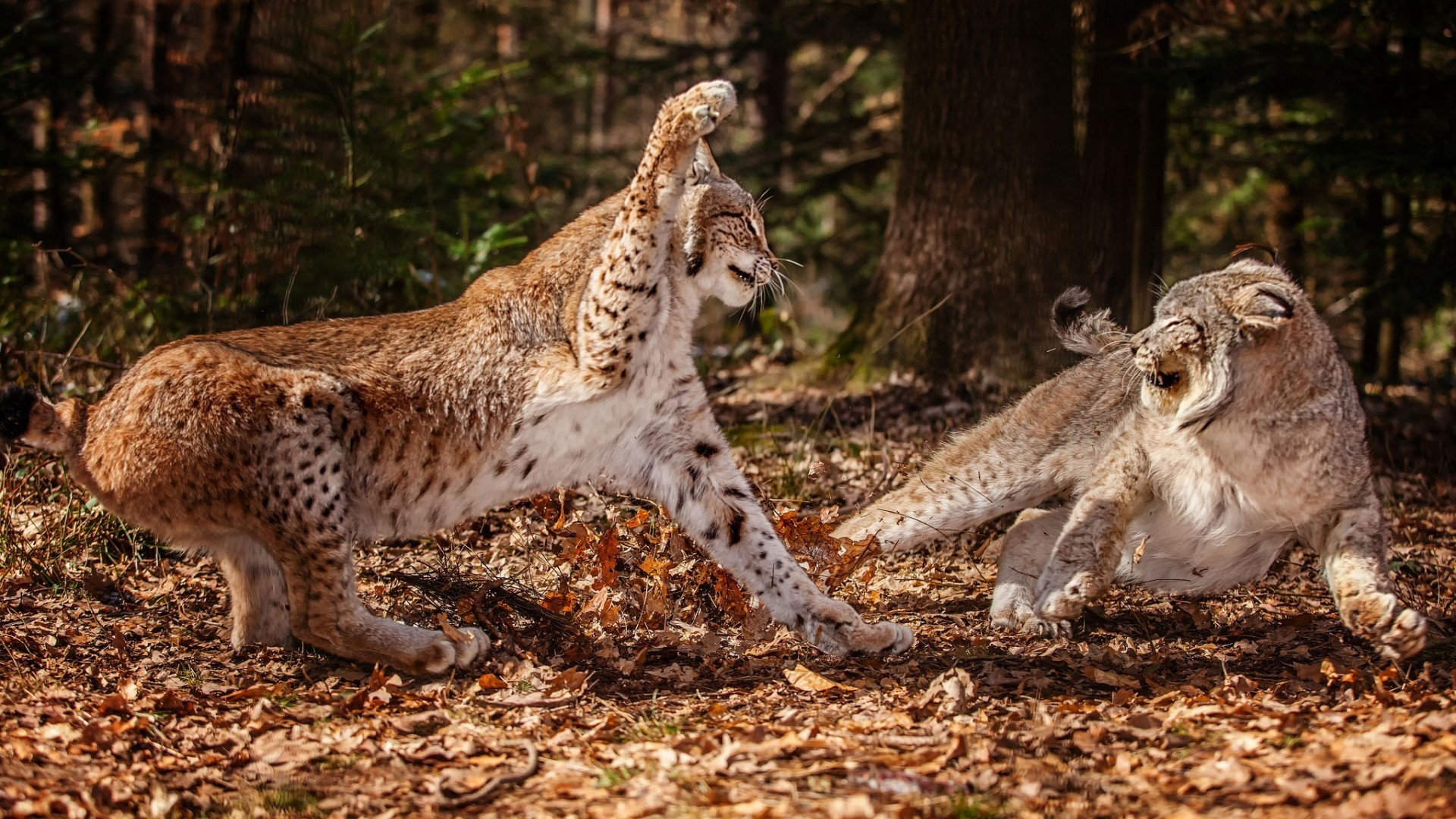 1920x1080 animals fight lynx wild cat wallpaper (#2795987) / Wallbase.cc