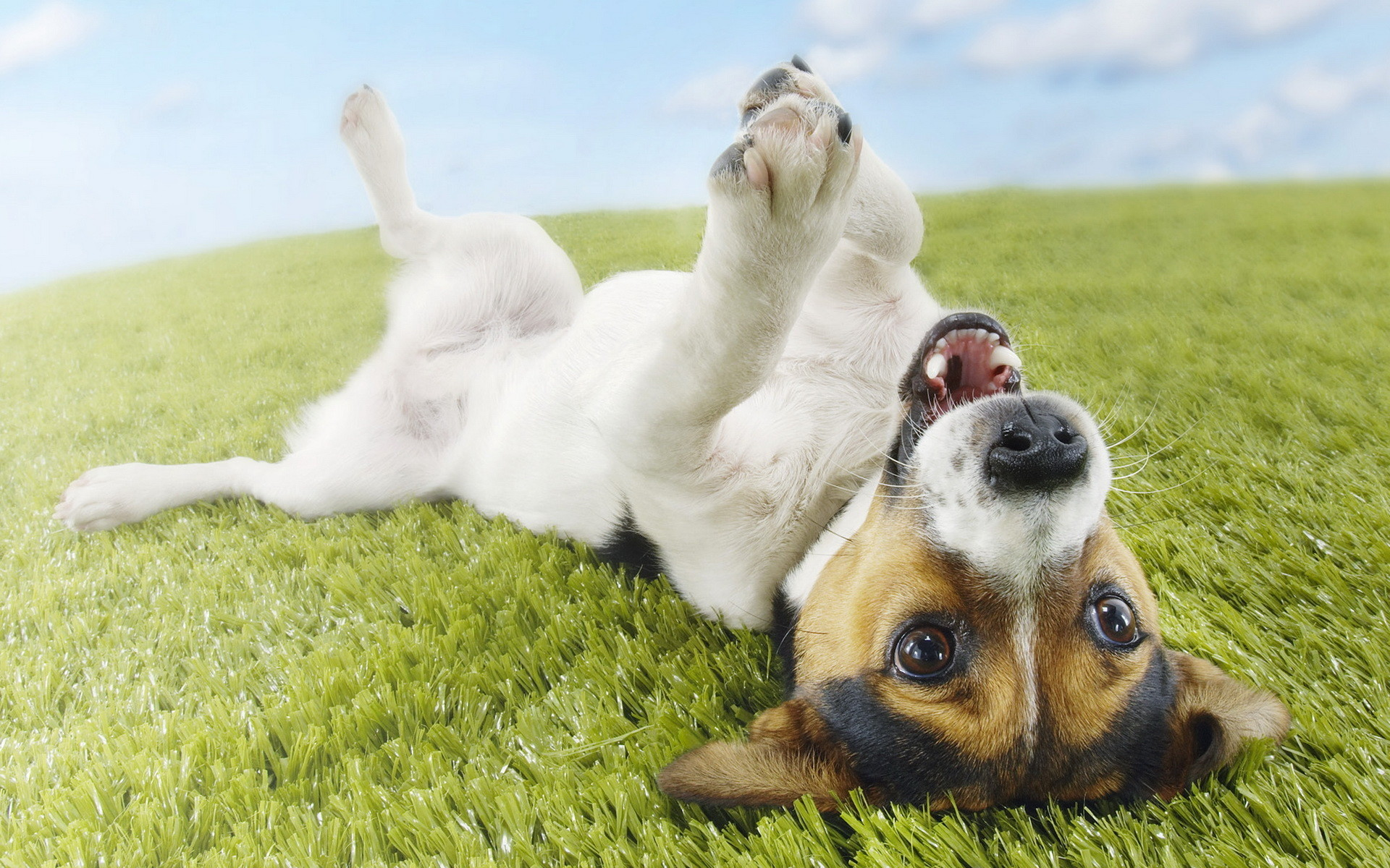 jack russell terrier wallpaper 61 images