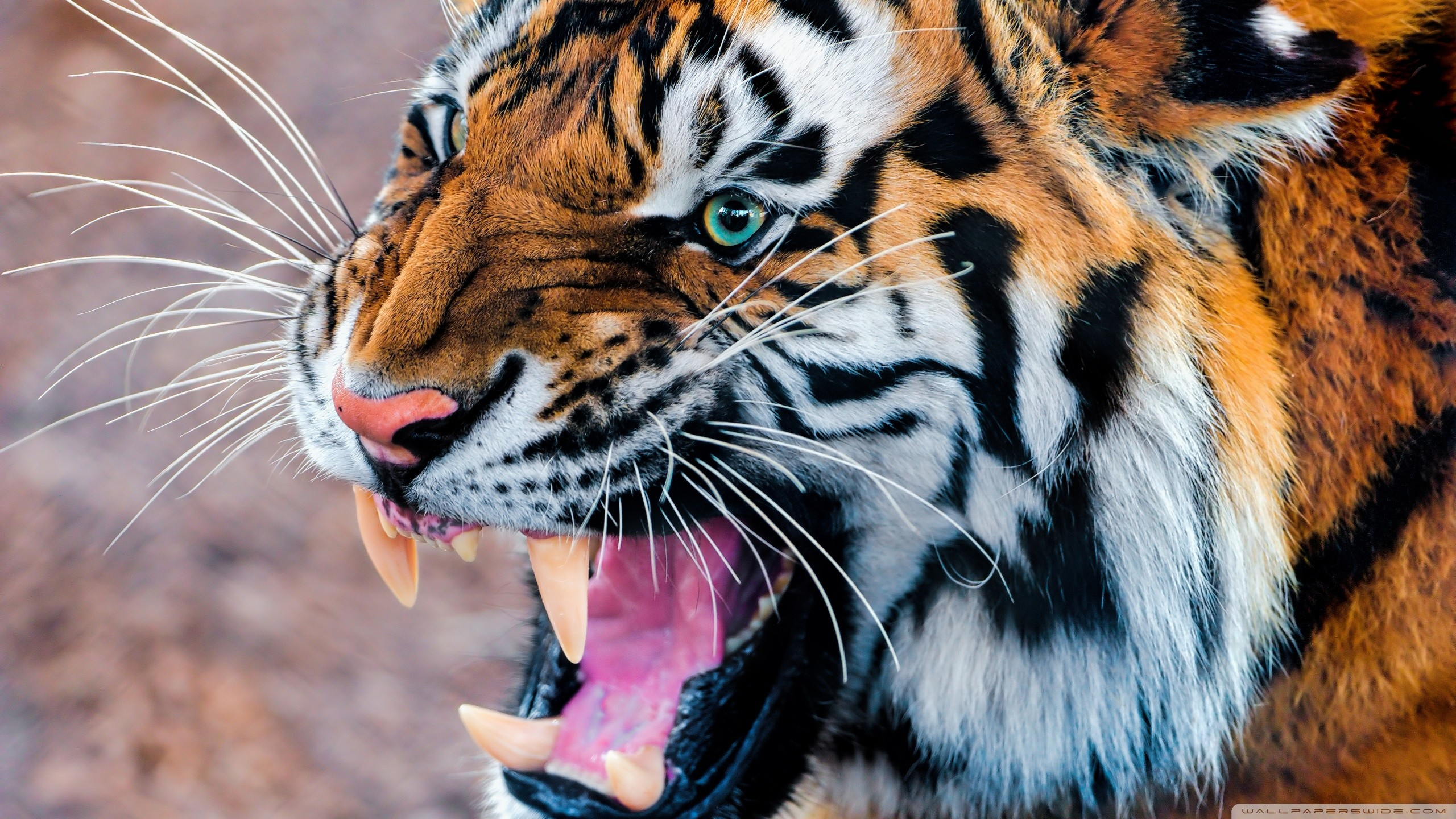 Black And White Tiger Wallpaper 60 Images