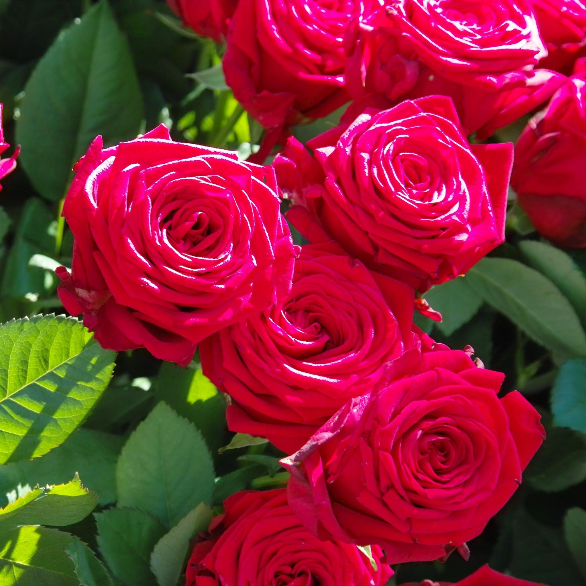 Rose Flowers Wallpaper (57+ Images