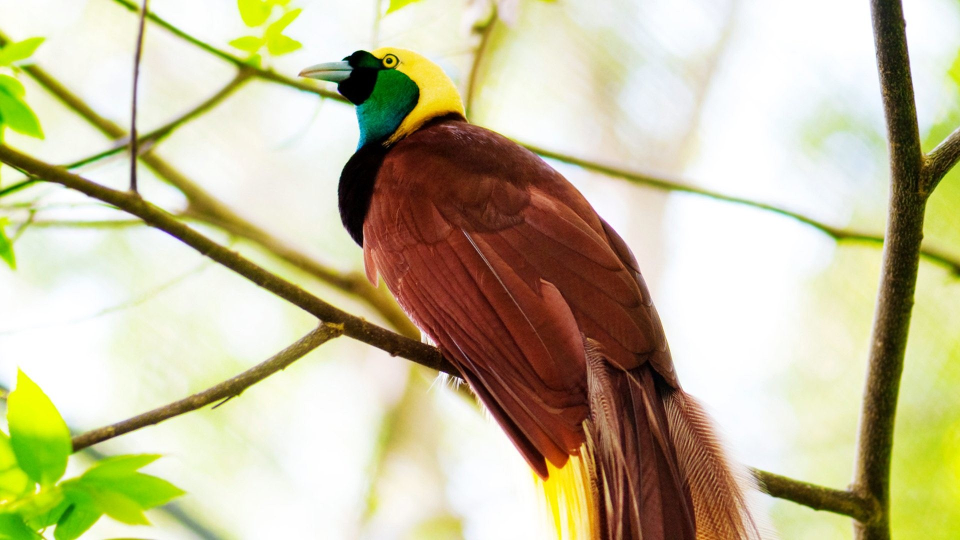 Bird of paradise wallpaper 60 images - Hd images of birds of paradise ...