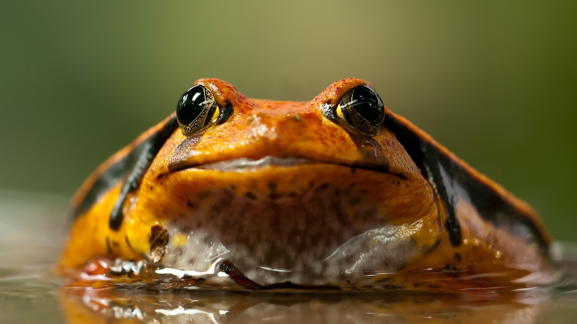 1920x1080  Wallpaper frog, toad, eyes