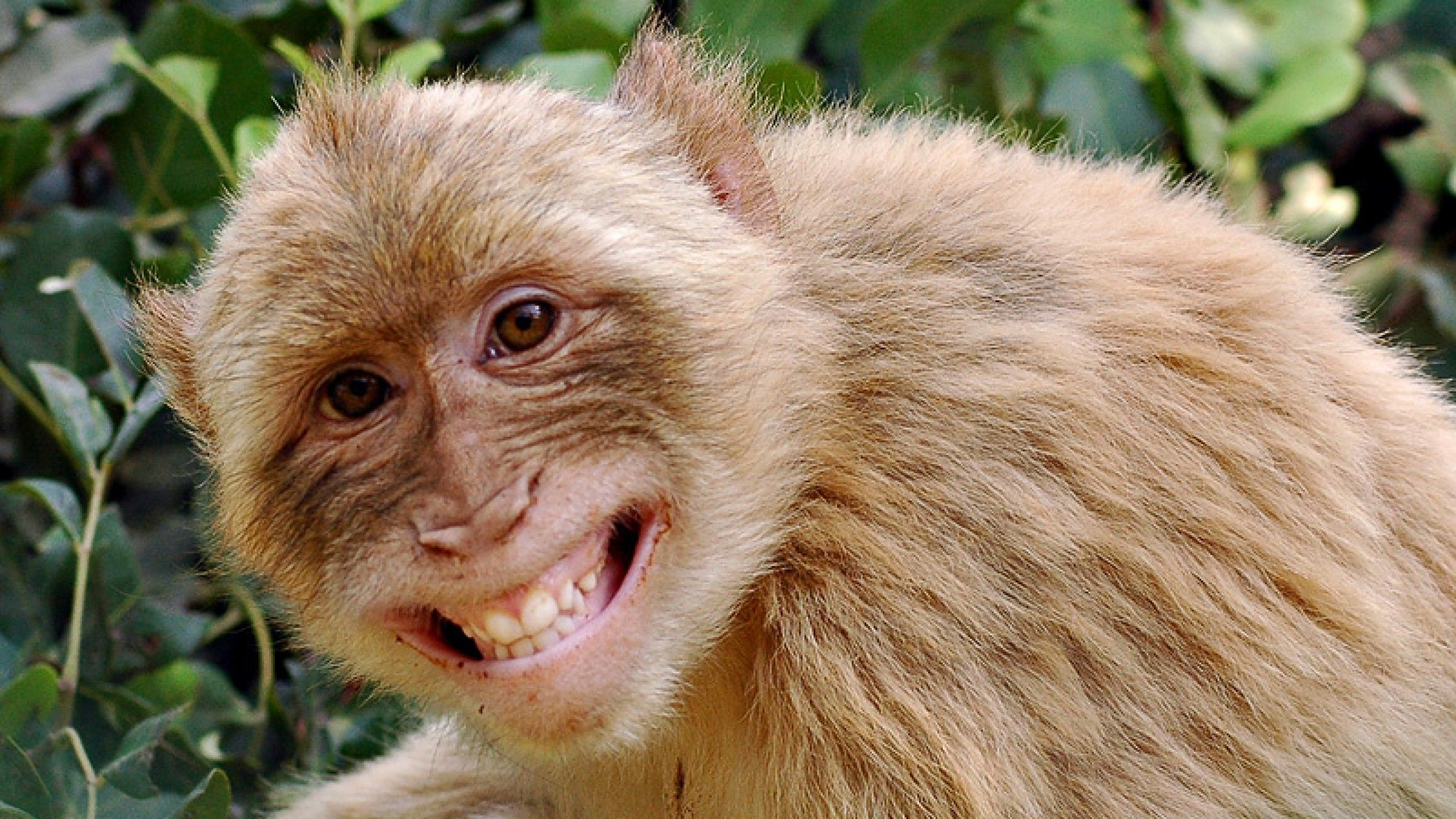 2560x1440 Funny Monkey Pictures Wallpapers Wallpaper | HD Wallpapers | Pinterest |  Funny monkeys and Wallpaper