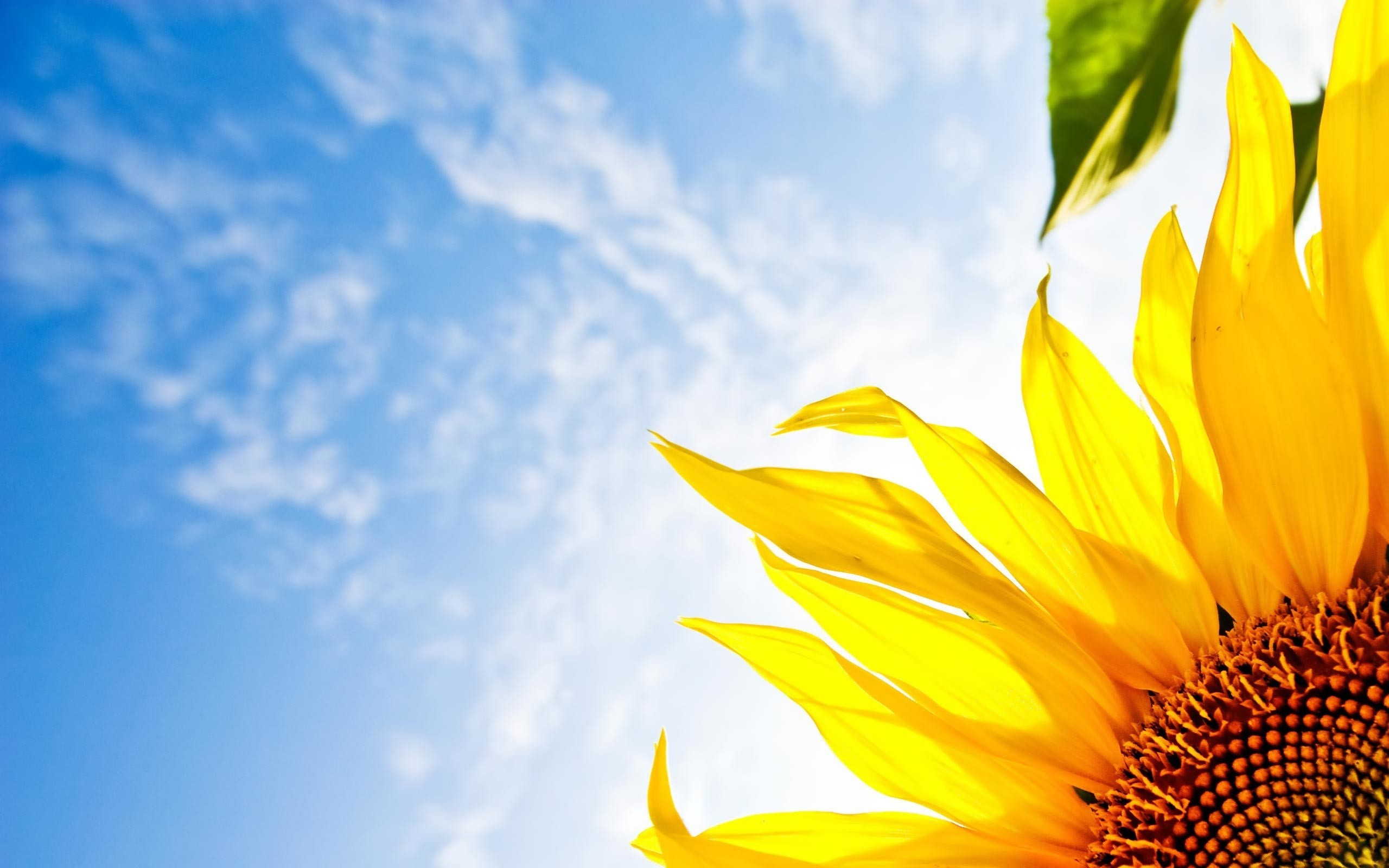 2560x1600 Desktop Wallpaper Gallery Windows Sky Sunflower Free