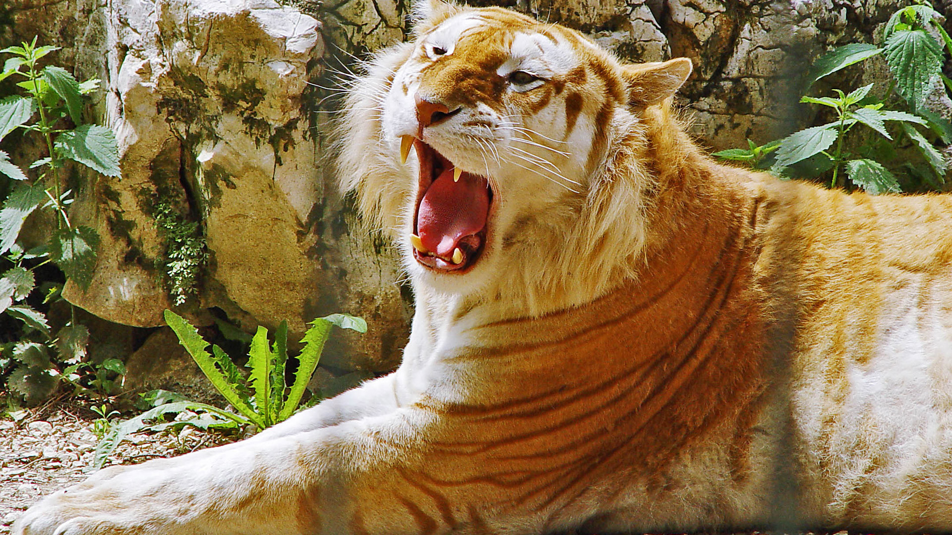 1920x1080 Golden Tiger HDTV 1080p