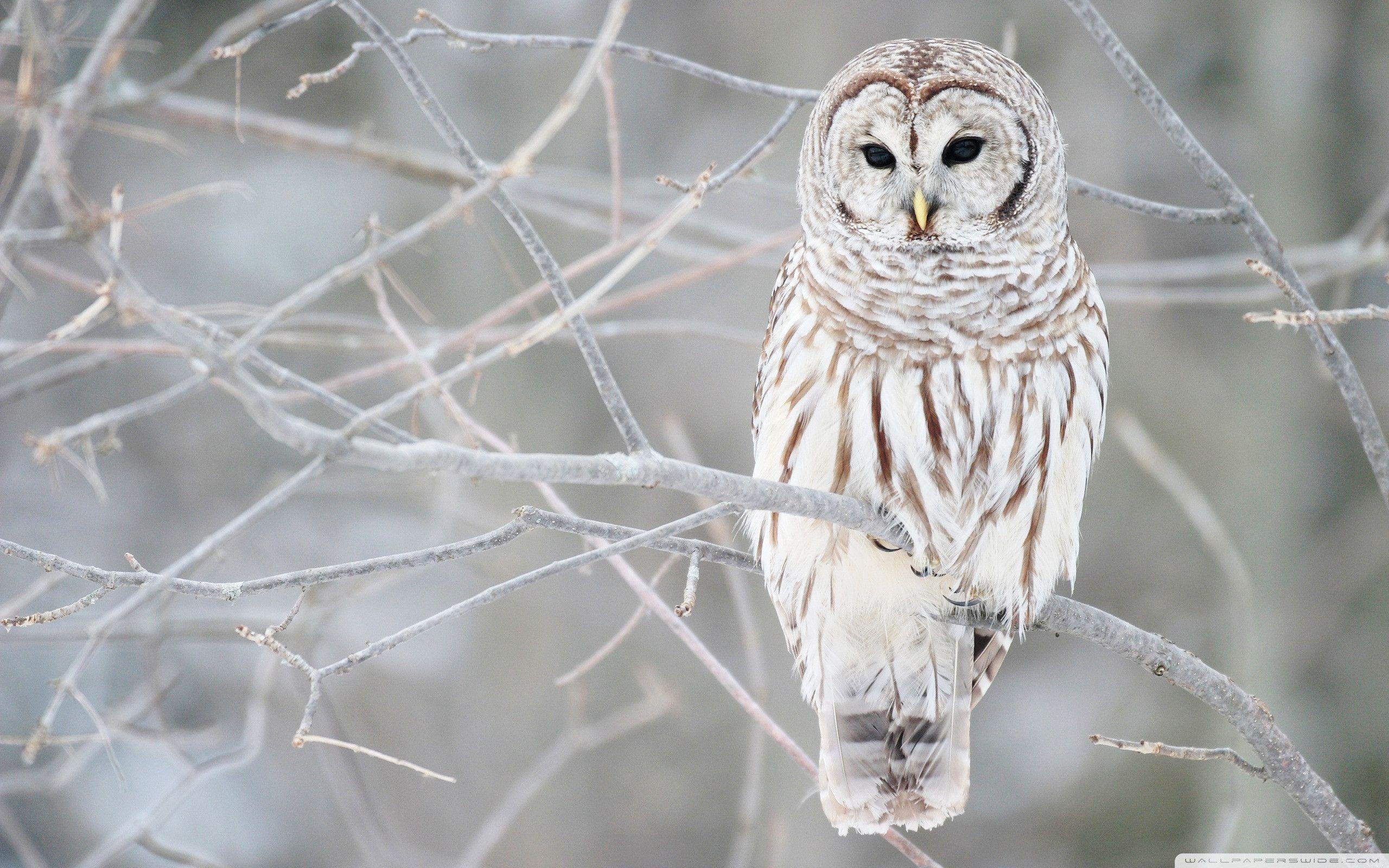 Image result for white owl wallpaper hd
