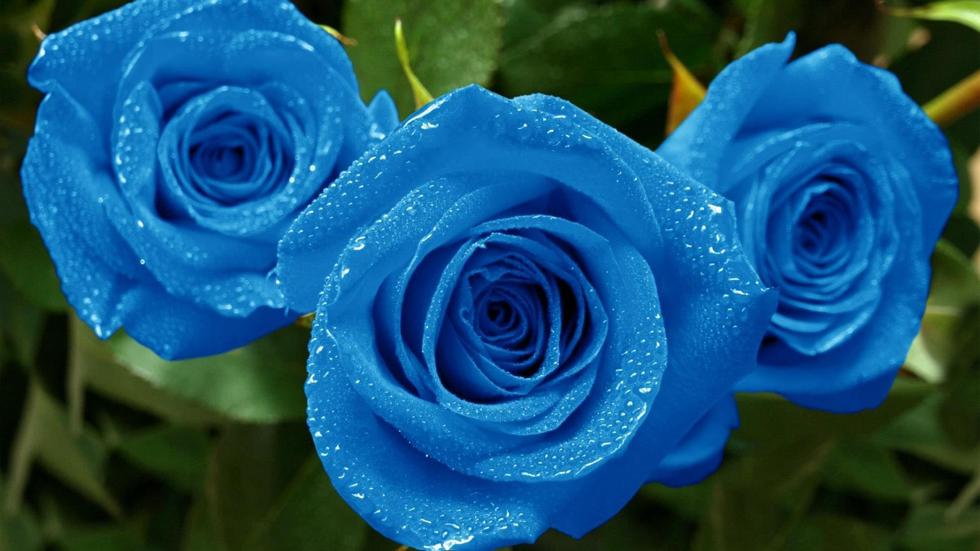 Blue Roses Wallpaper 58 Images