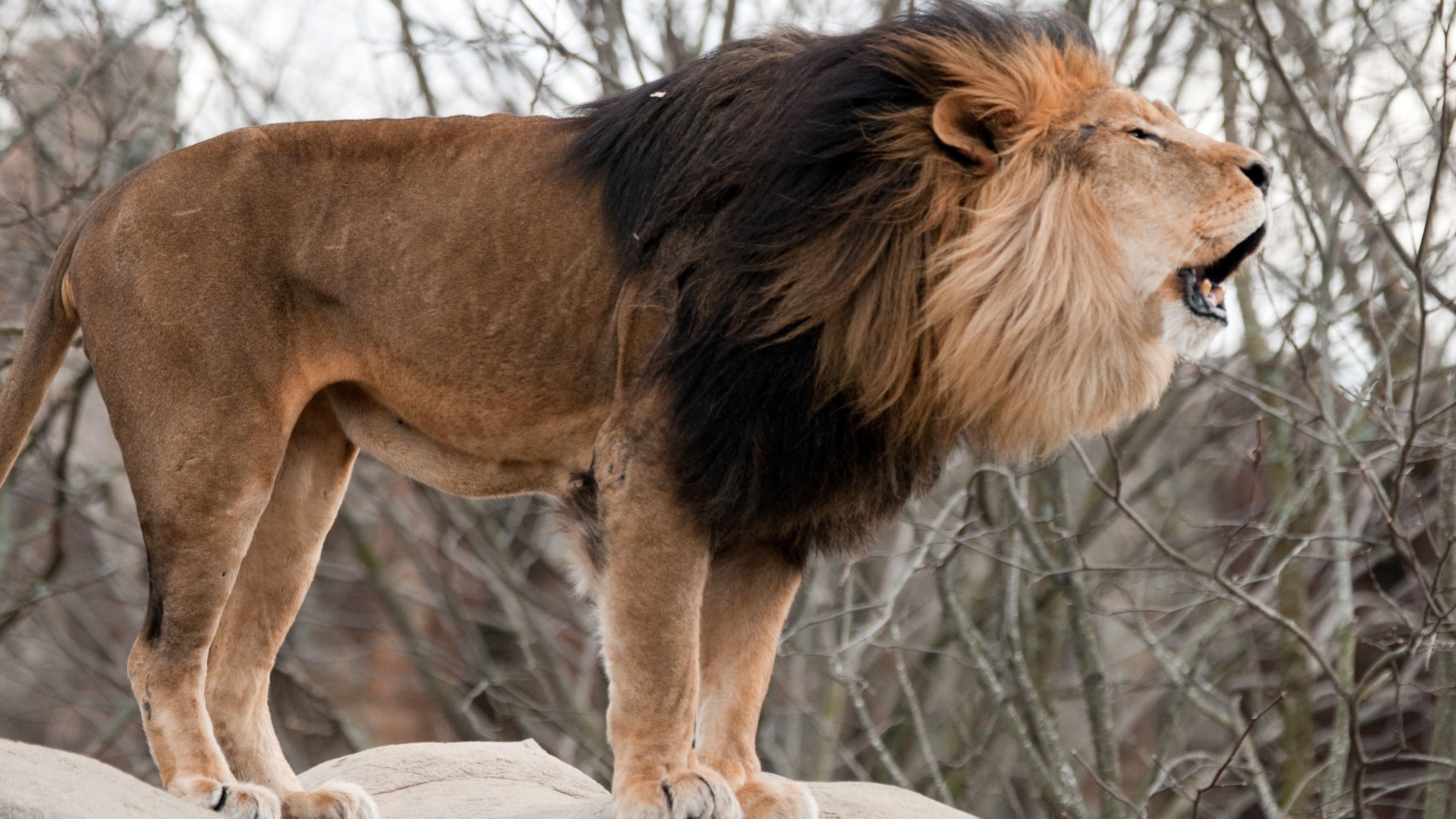 Roaring Lion Wallpaper (67+ Images