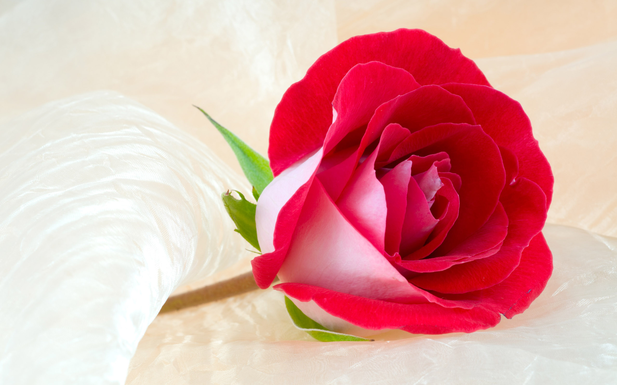 Beautiful rose flowers wallpapers 52 images 2560x1600 rose flowers wallpapers hd free izmirmasajfo