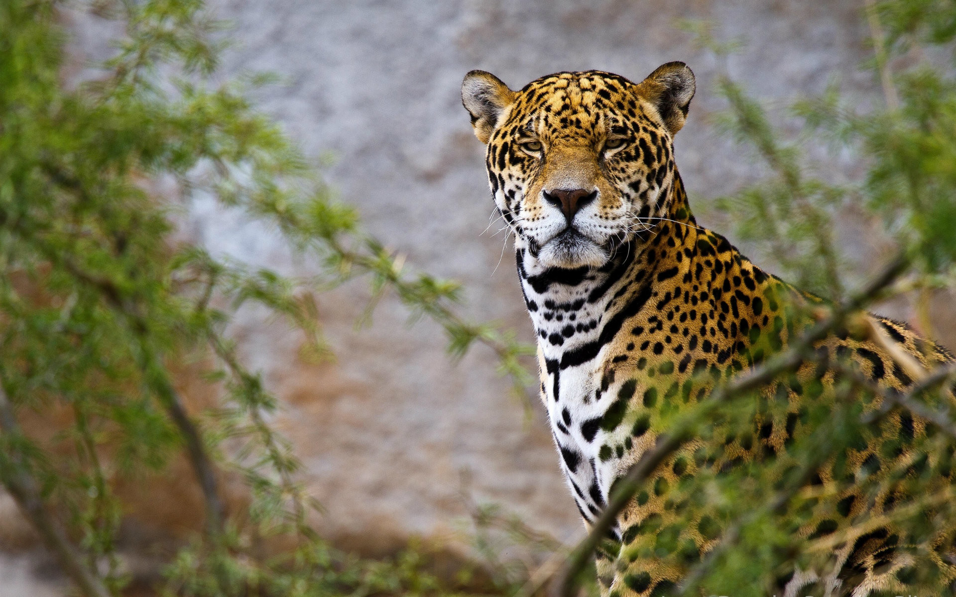 Jaguar wallpapers 63 images - Jaguar animal hd wallpapers ...