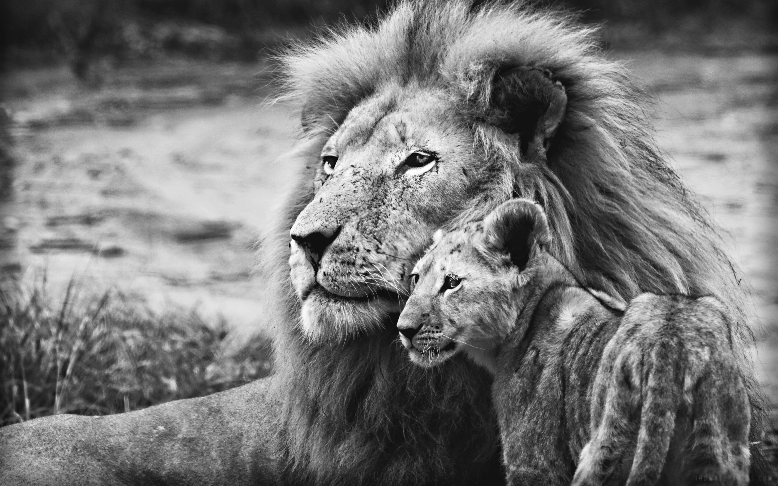 Animals Black And White Elephants 10000 Lions Big Cats: Lion Face Wallpaper (68+ Images