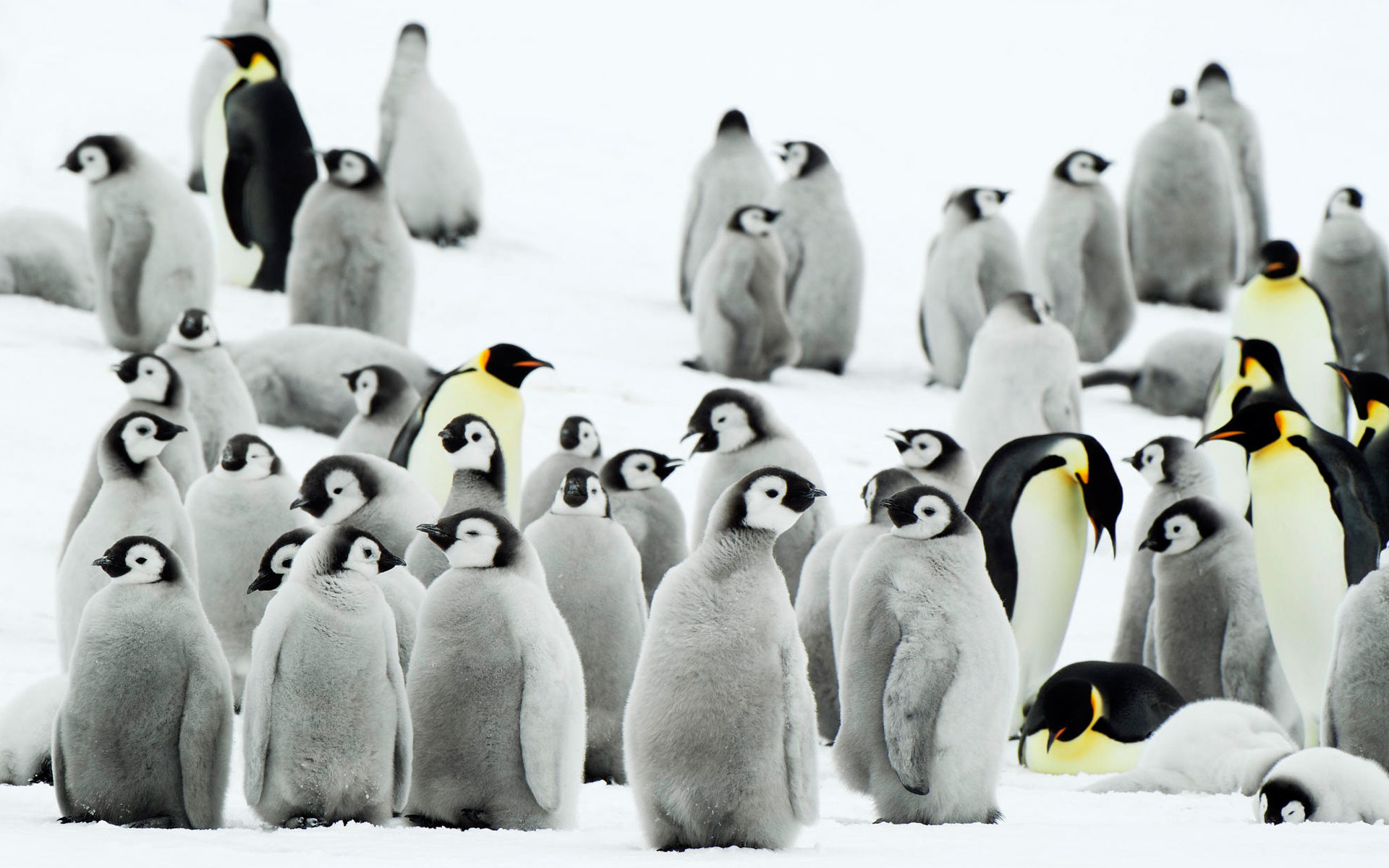 1920x1200 desktop hd antarctic penguins images free download