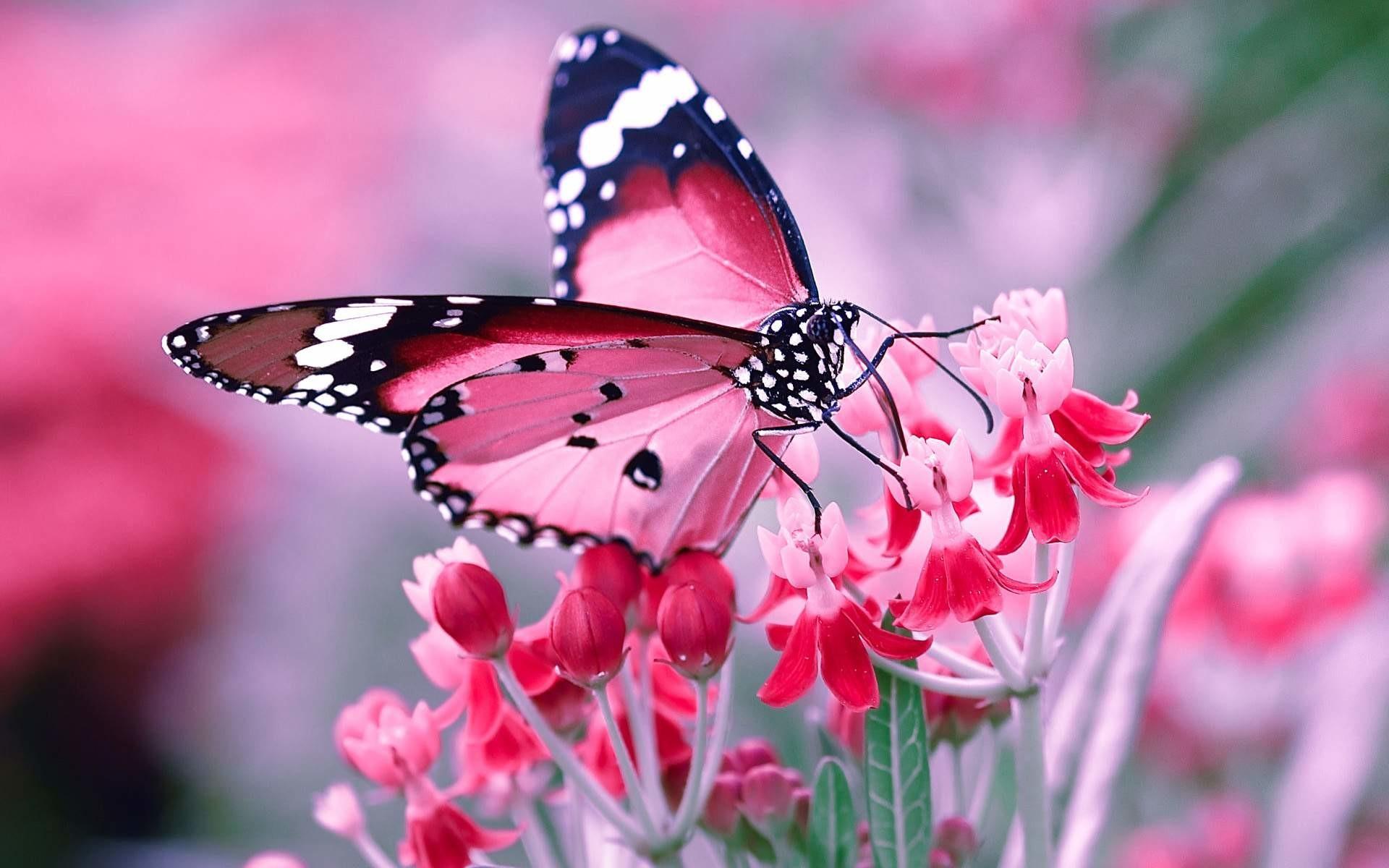 Pink Butterfly Wallpaper Desktop 84 Images