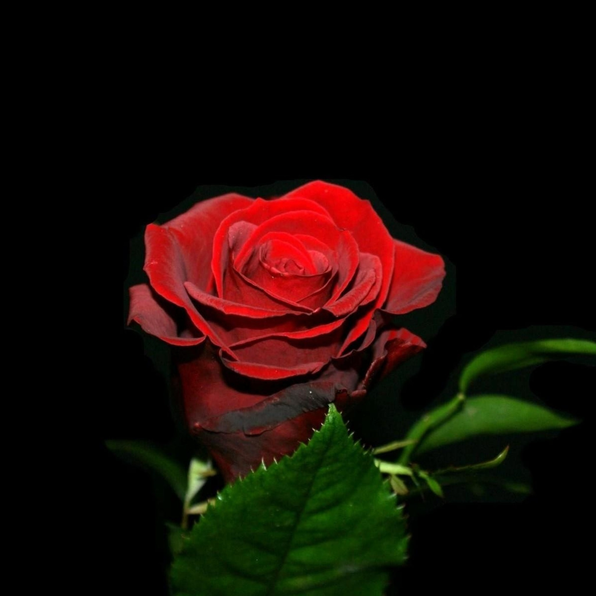 Red Rose With Black Background (42+ Images