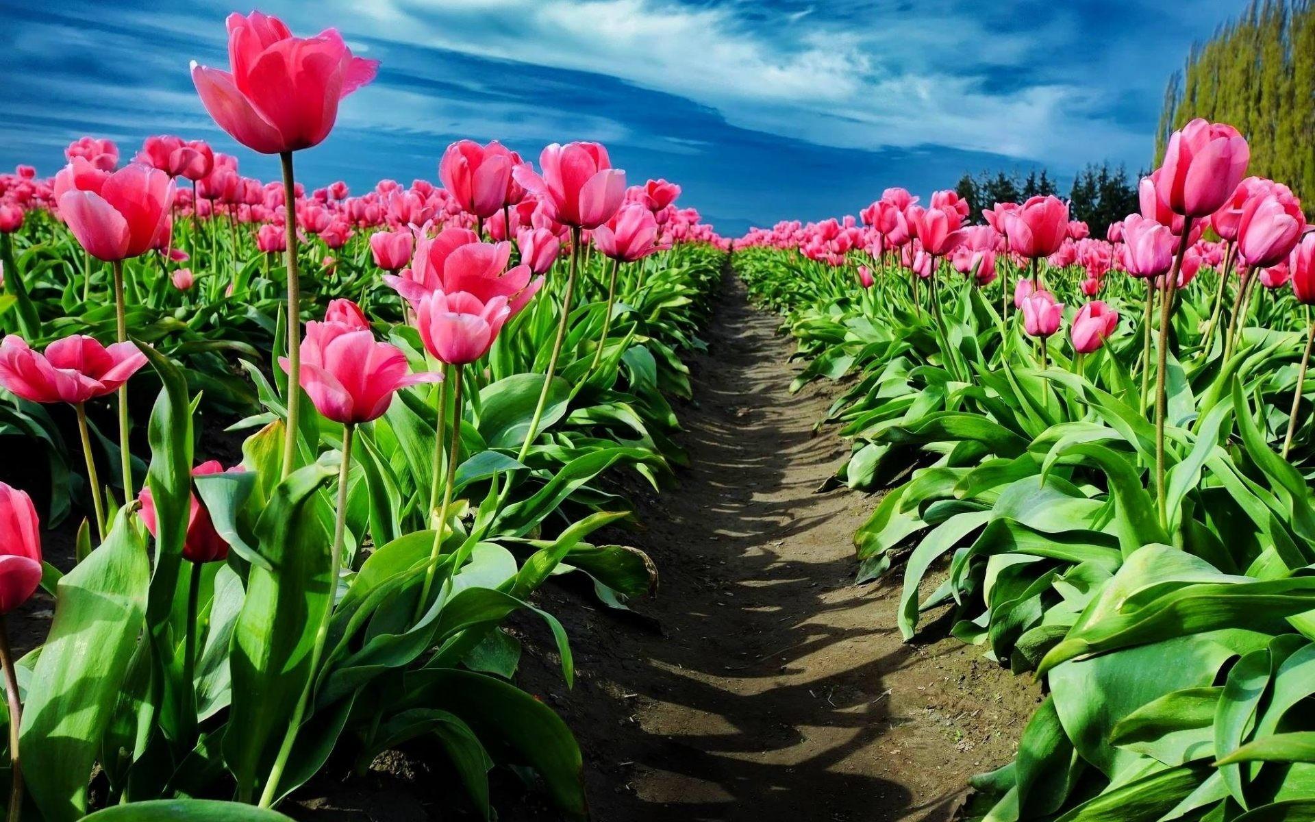 pink tulip wallpaper  62  images