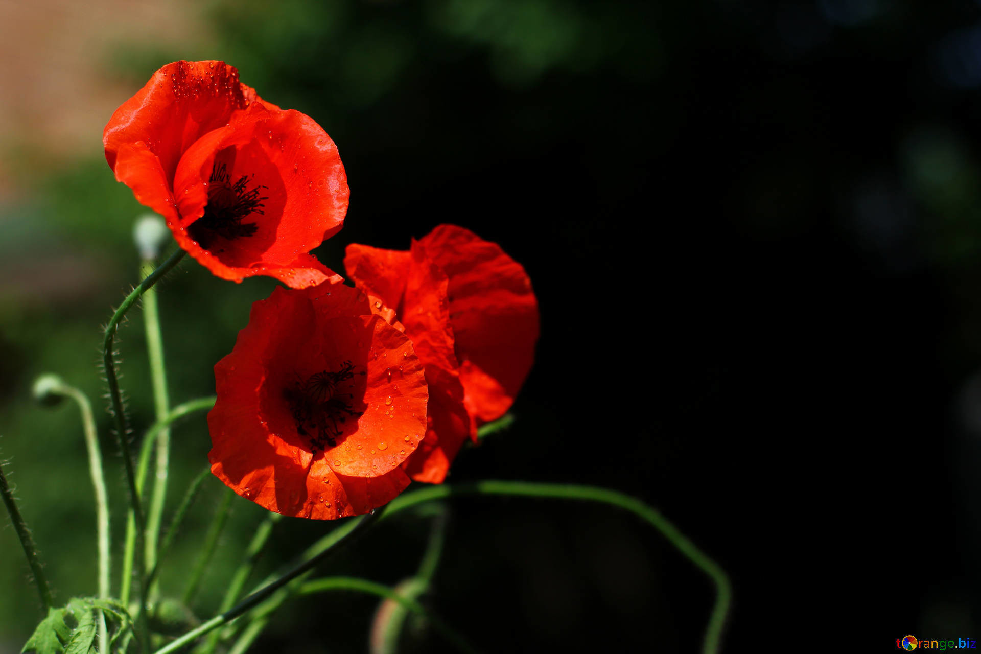 1920x1280 Beautiful background with poppies