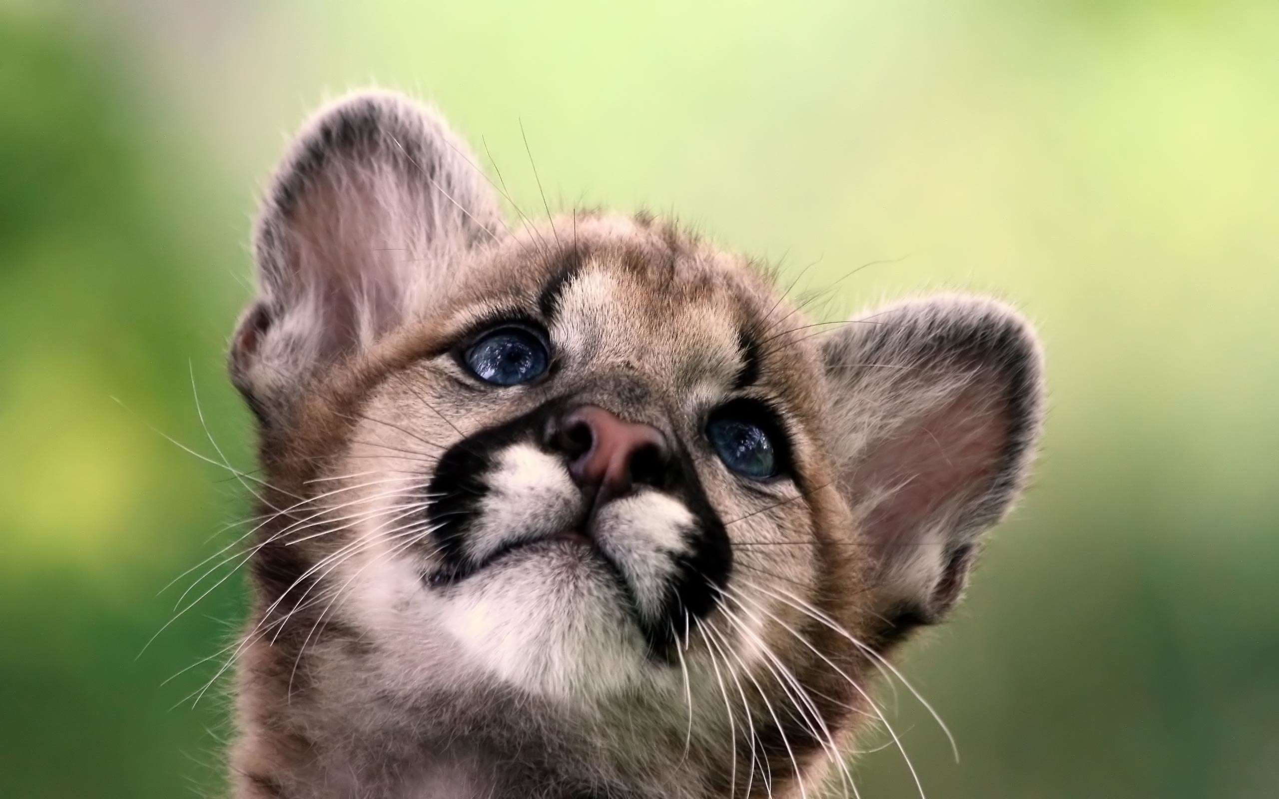 2560x1600 Mountain Lion Cub Wide Wallpaper 13391