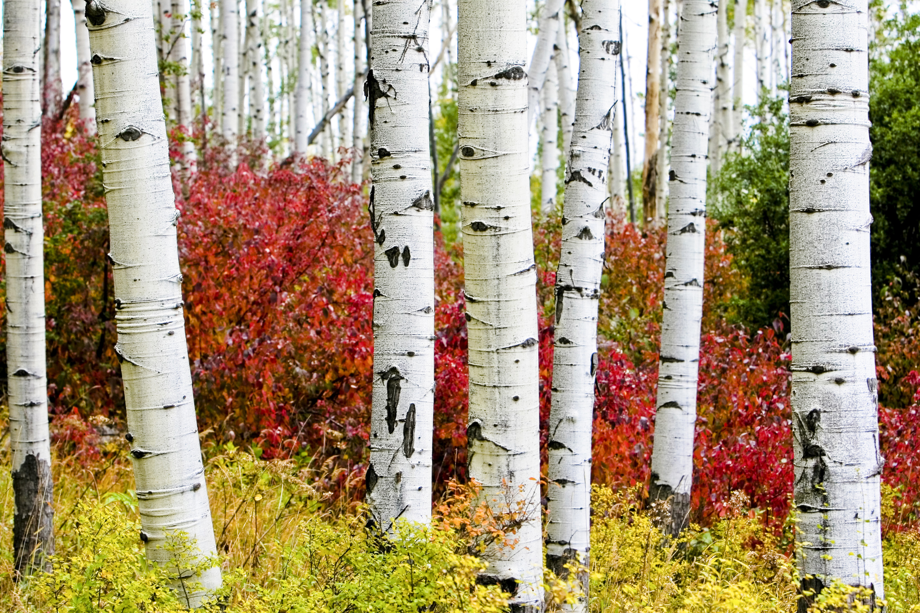 3072x2048 Aspen Trees In The Fall wallpaper. 3072×2048