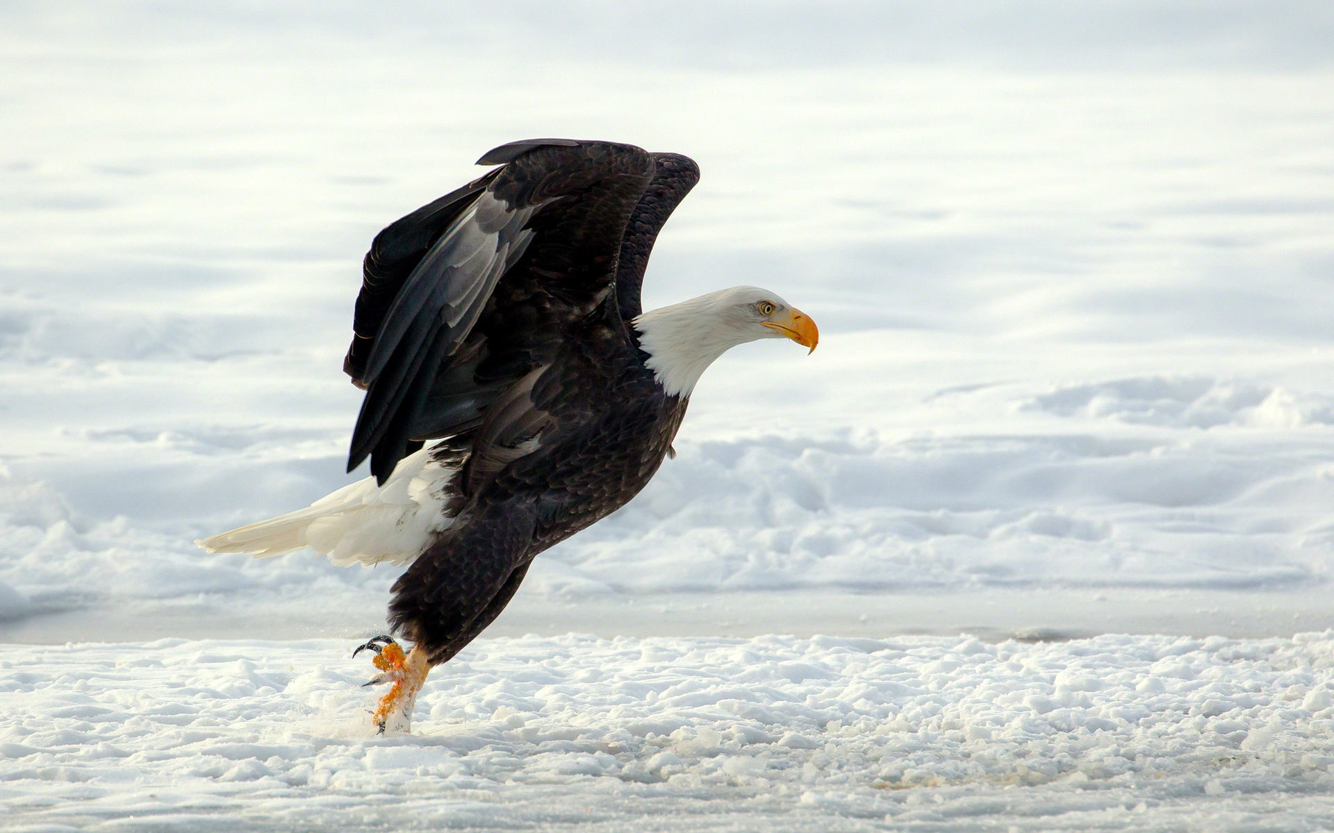 1920x1200 Free Download HD Eagle Wallpapers 1080p