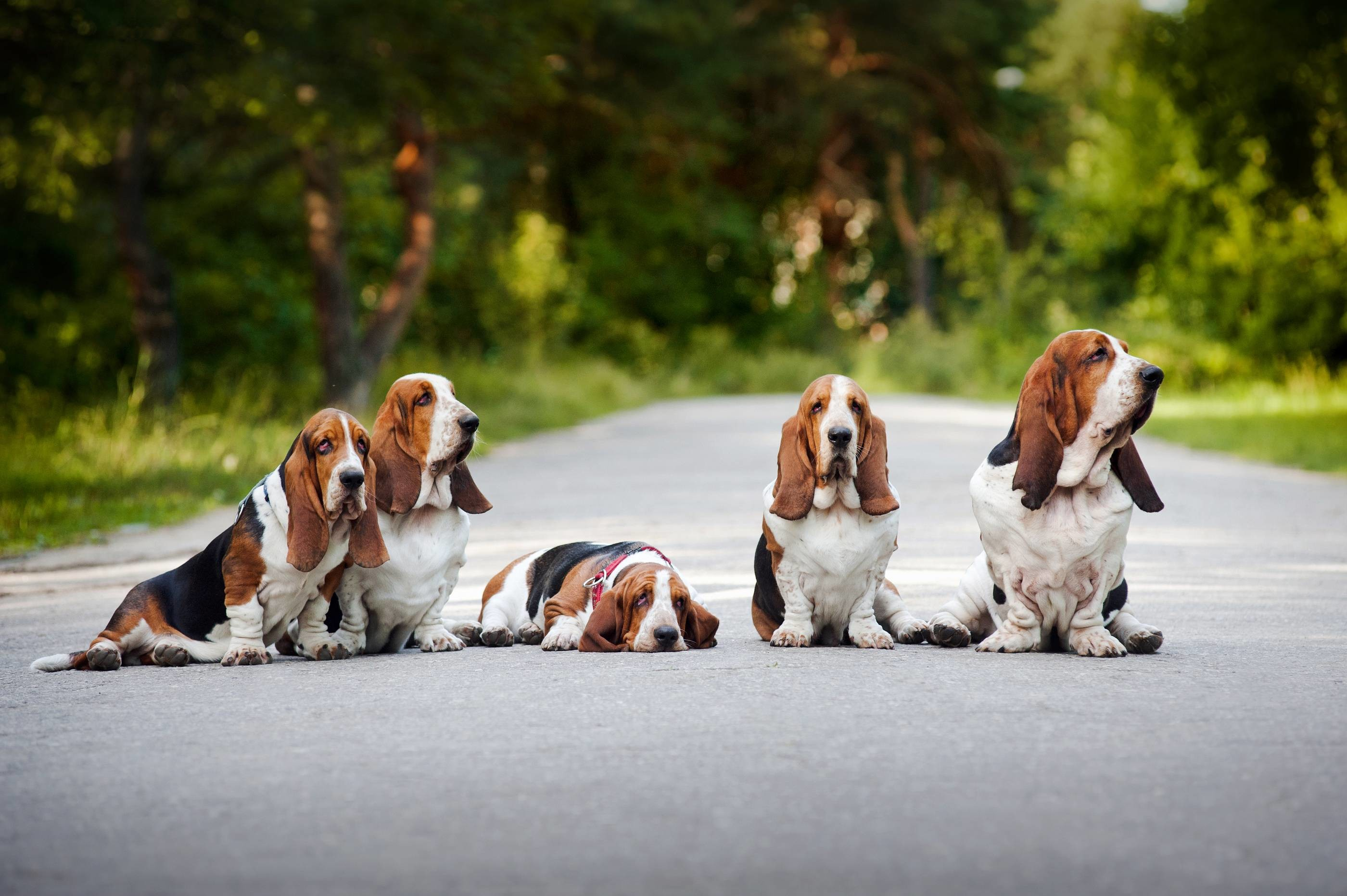 2800x1863 Family Basset Hound sitting on the road wallpapers and images .