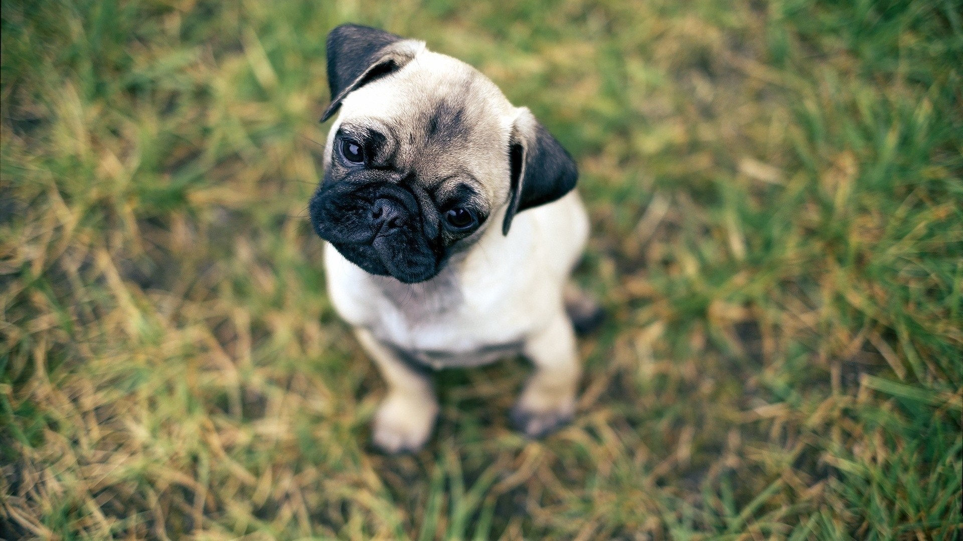 Pug Dog Wallpaper Iphone Hd Gambarku