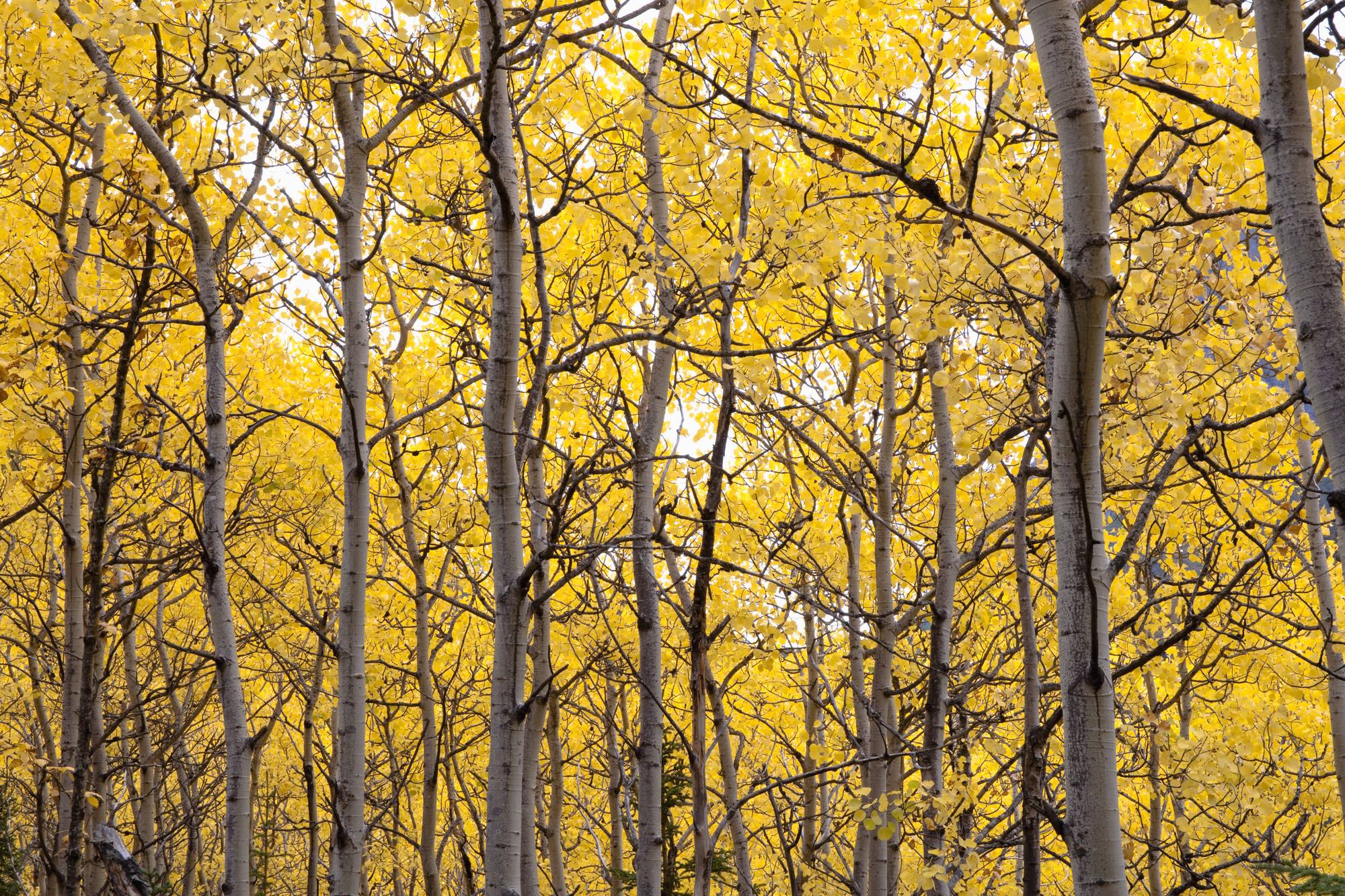 2000x1333 Autumn Scenic Of Colorful Yellow Aspen Trees Wall Mural Photo Wallpaper