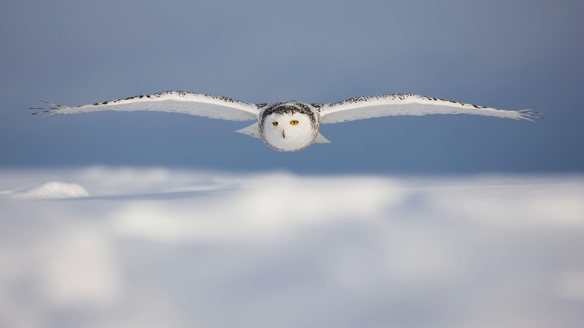 1920x1080 White Owl Wallpaper 30387