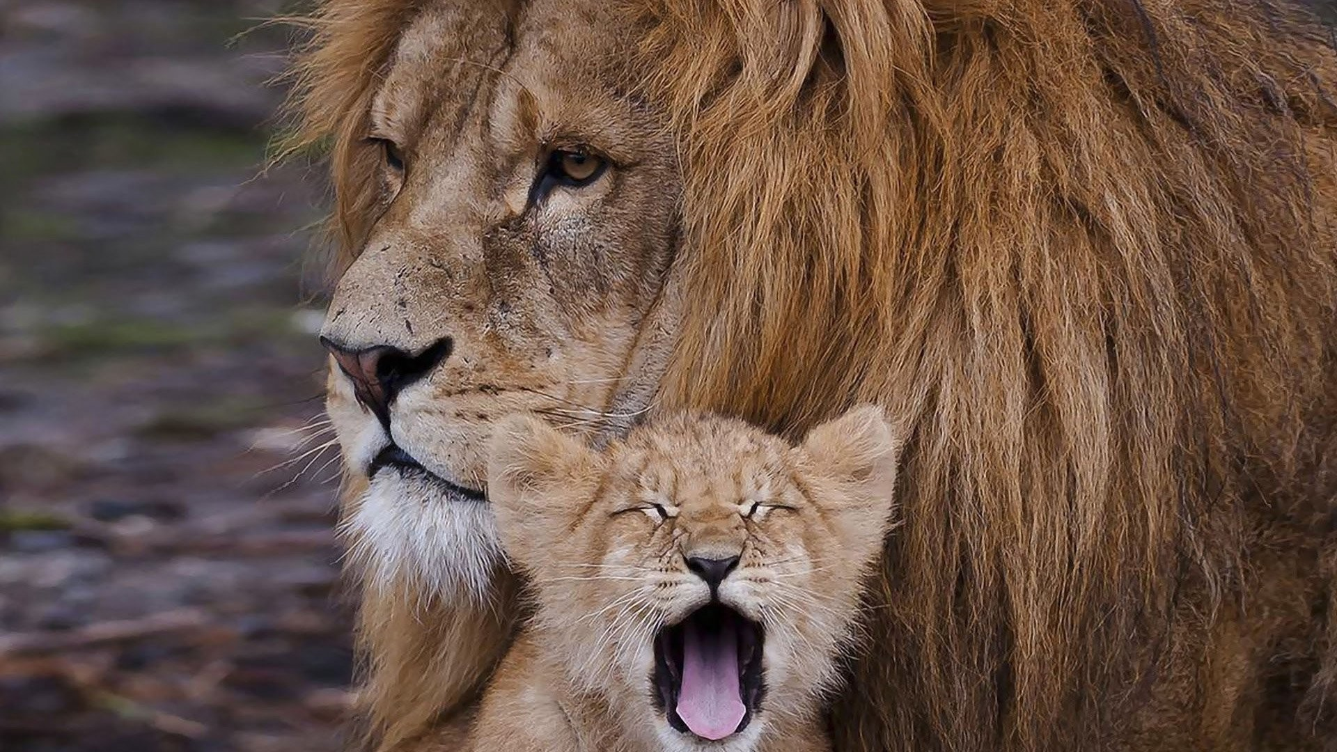 Lion Cub Wallpaper 74 Images