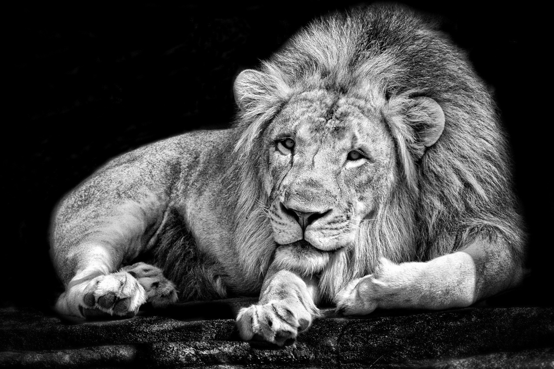 Lion Wallpaper Black And White (50+ Images