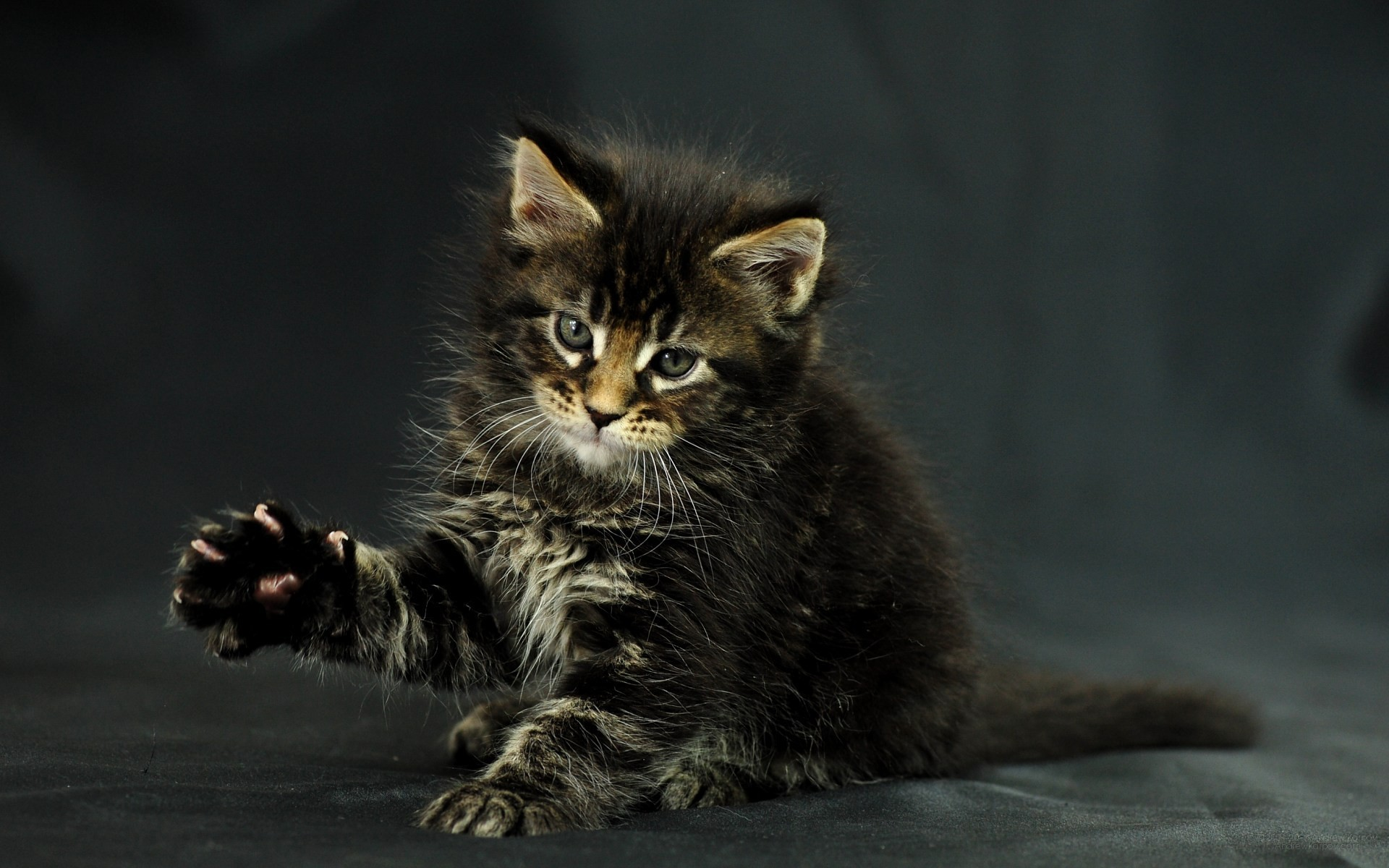 1920x1200 Pictures lolcat Funny Cat desktop wallpaper 1920 x 1200 image · 2011 Photo:  Odin, photo of Maine Coon India's kitten, born December 5th, 2010, ...
